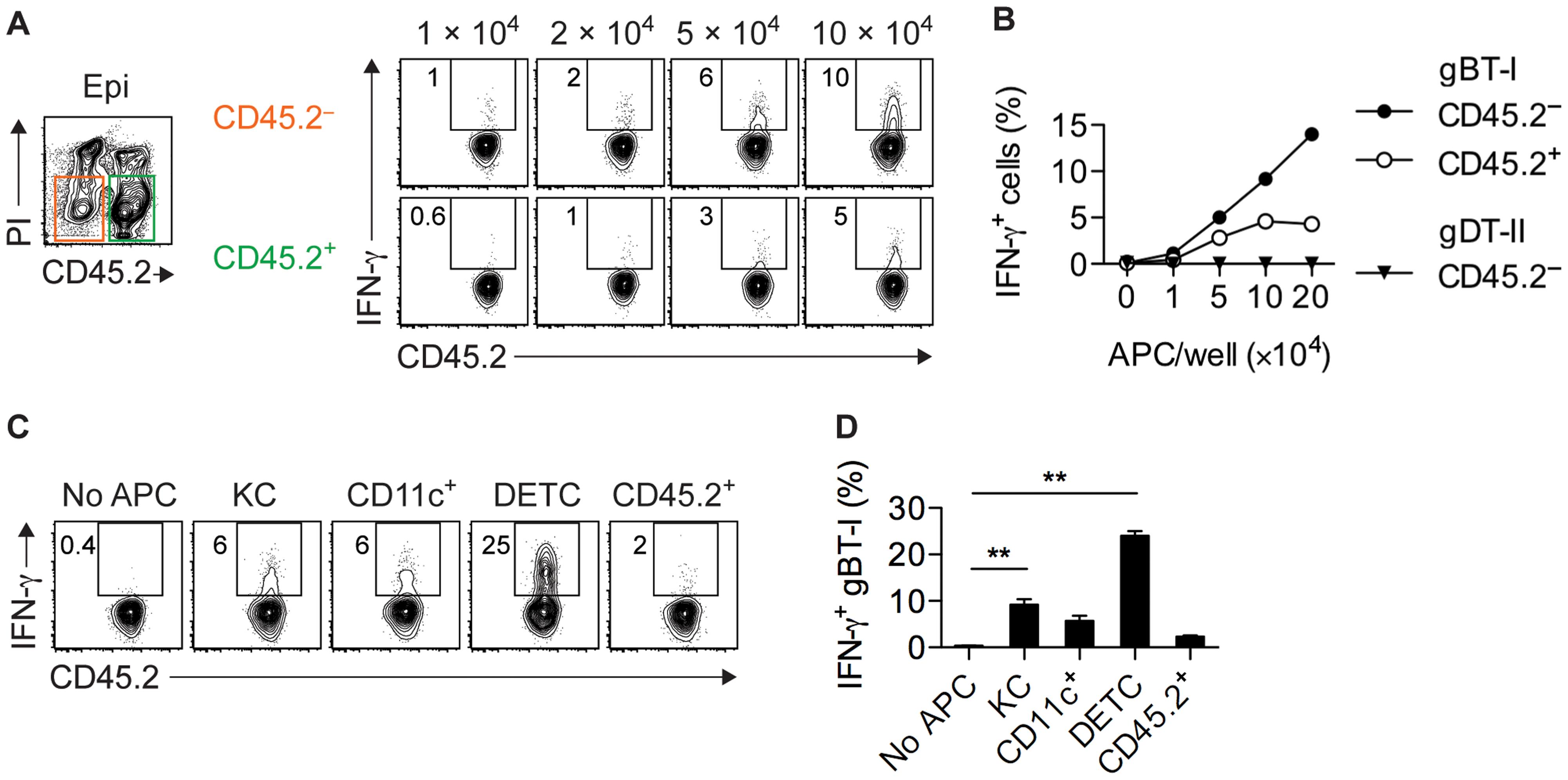 Epidermal APCs trigger IFN-γ production by CD8<sup>+</sup> T<sub>EFF</sub> cells.