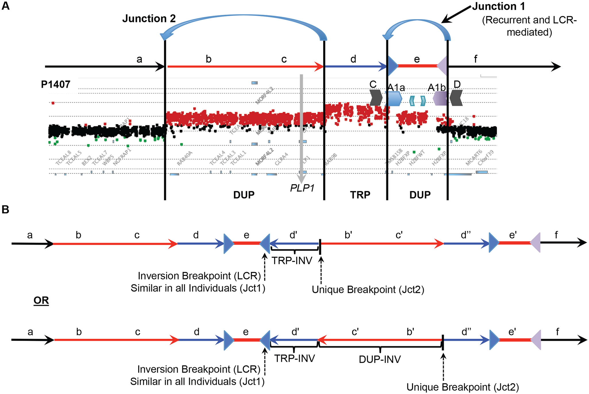 DUP-TRP/INV-DUP structures at the <i>PLP1</i> locus.