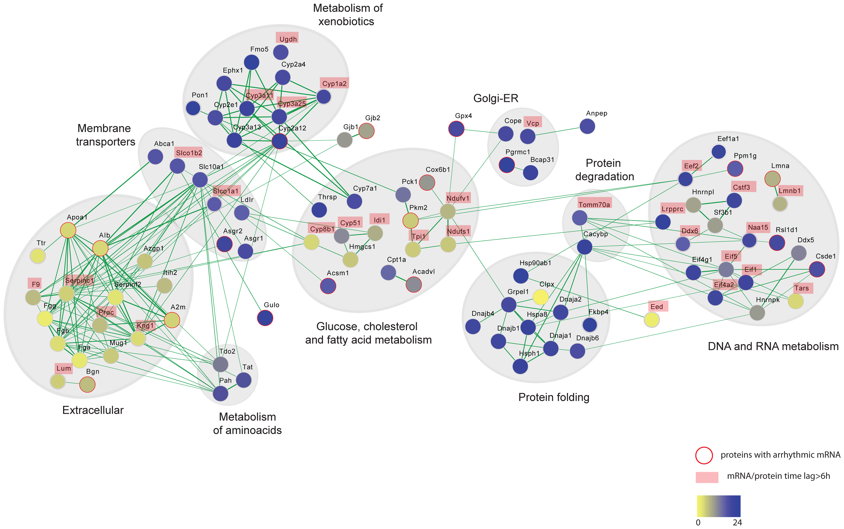 Protein interaction networks of rhythmic liver proteins.