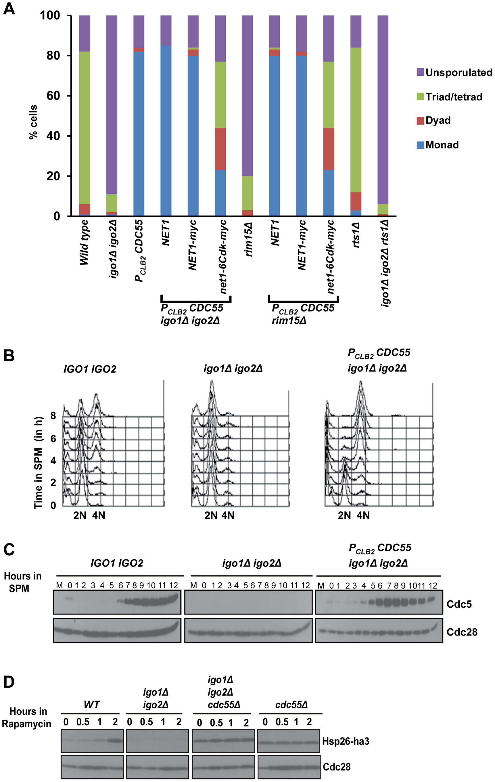 Absence of Cdc55 suppresses the gametogenesis- and quiescence- entry defect of endosulfine mutants.