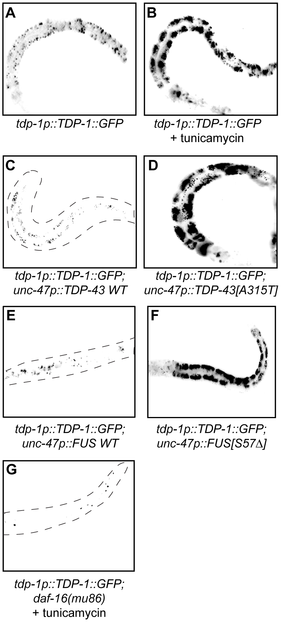 TDP-1 expression is induced by proteotoxicity.