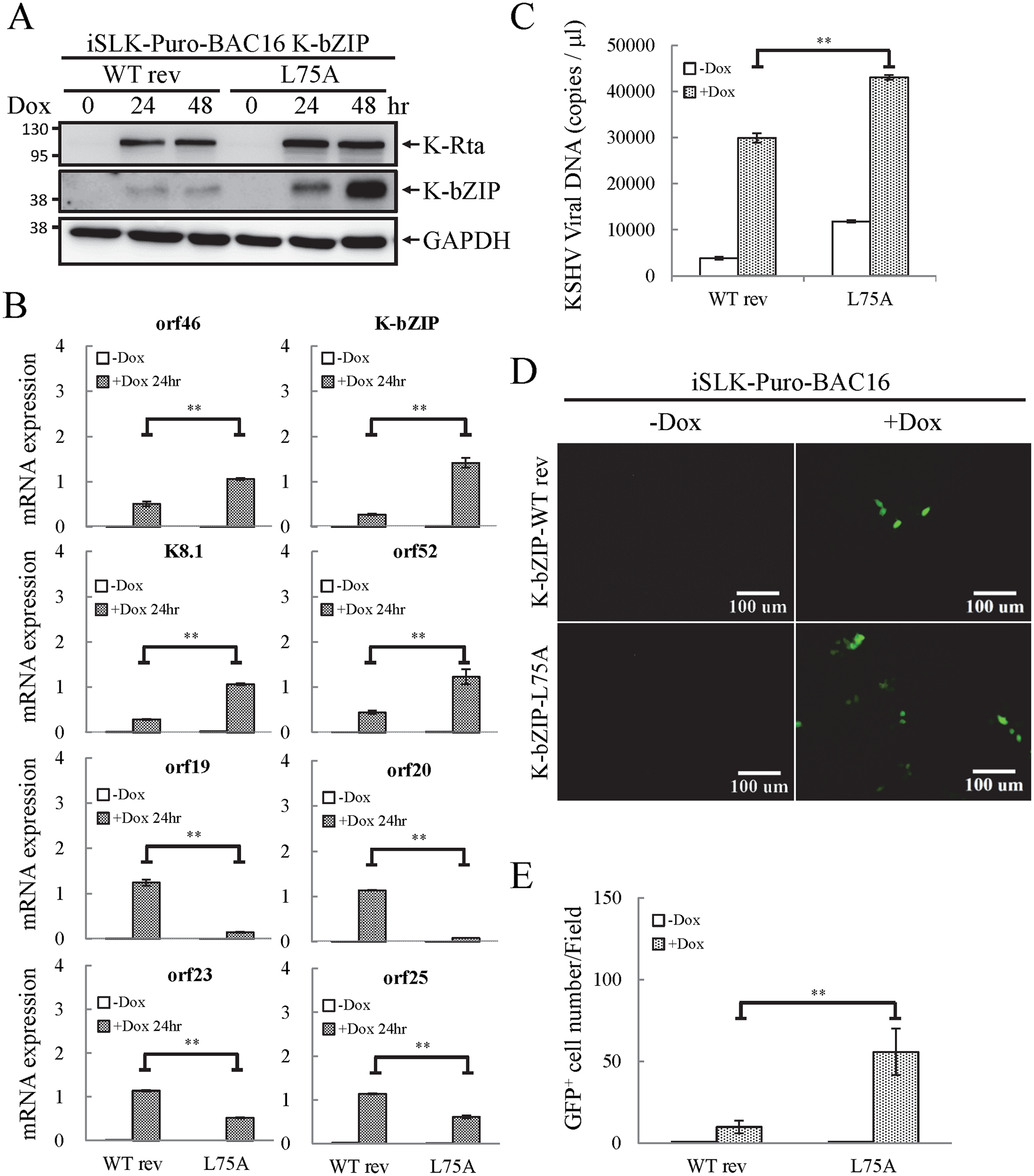 The SUMO E3 ligase activity of K-bZIP is necessary to alleviate the increase in gene expression and virus production during reactivation.