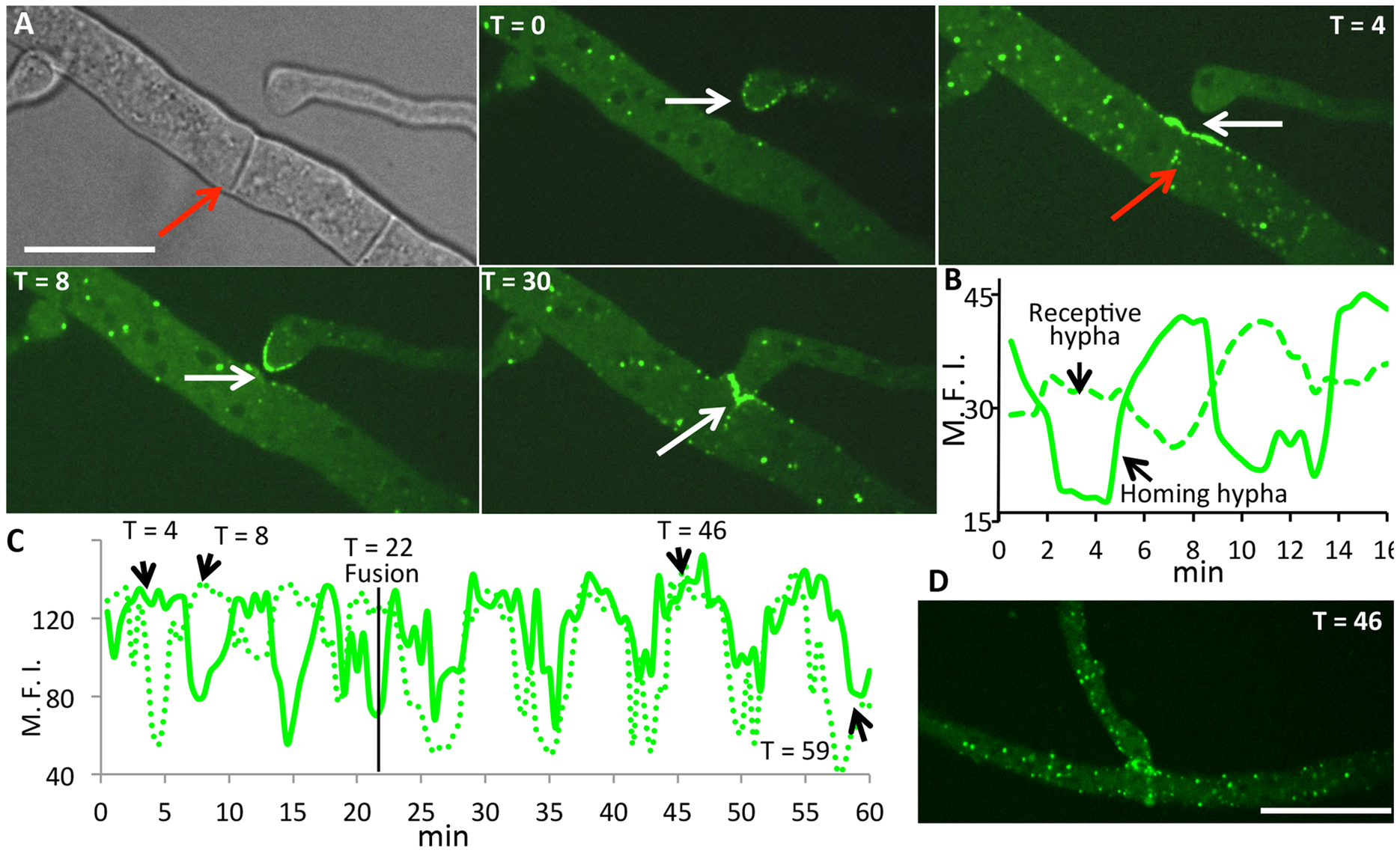 HAM-5-GFP shows oscillatory localization to fusion points and puncta in hyphae showing chemotropism.