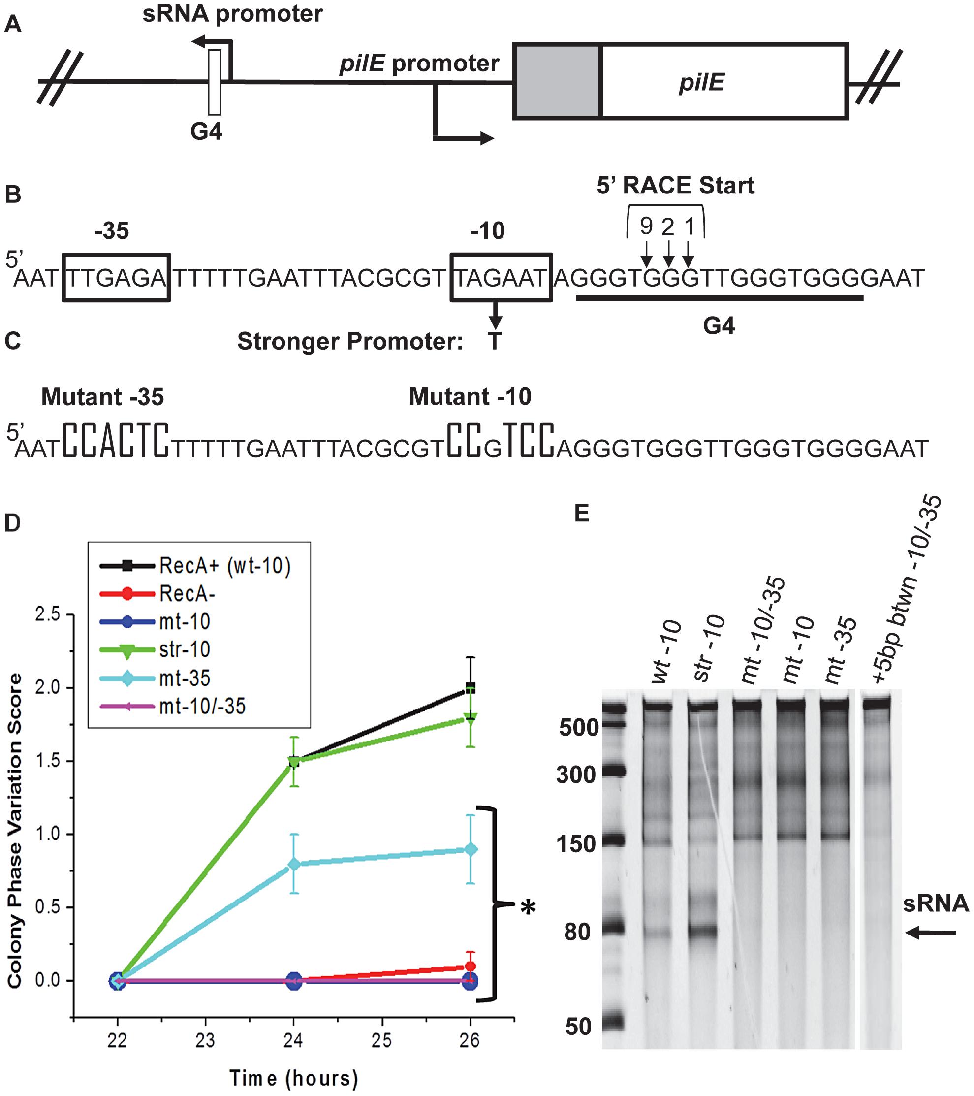 Analysis of the <i>pilE</i> G4-associated sRNA and effect on pilin Av.