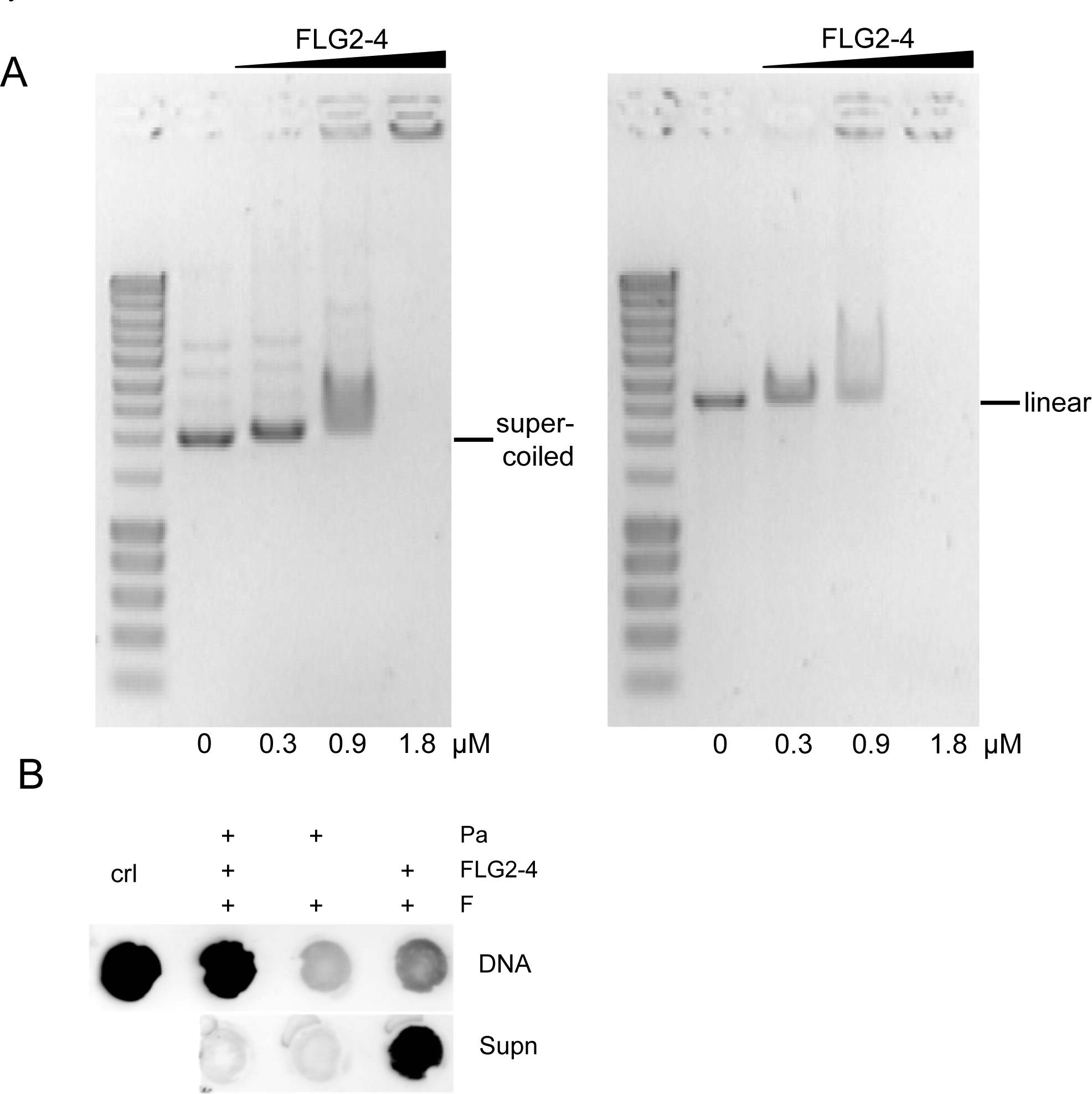 Interaction of FLG2-4 with DNA.