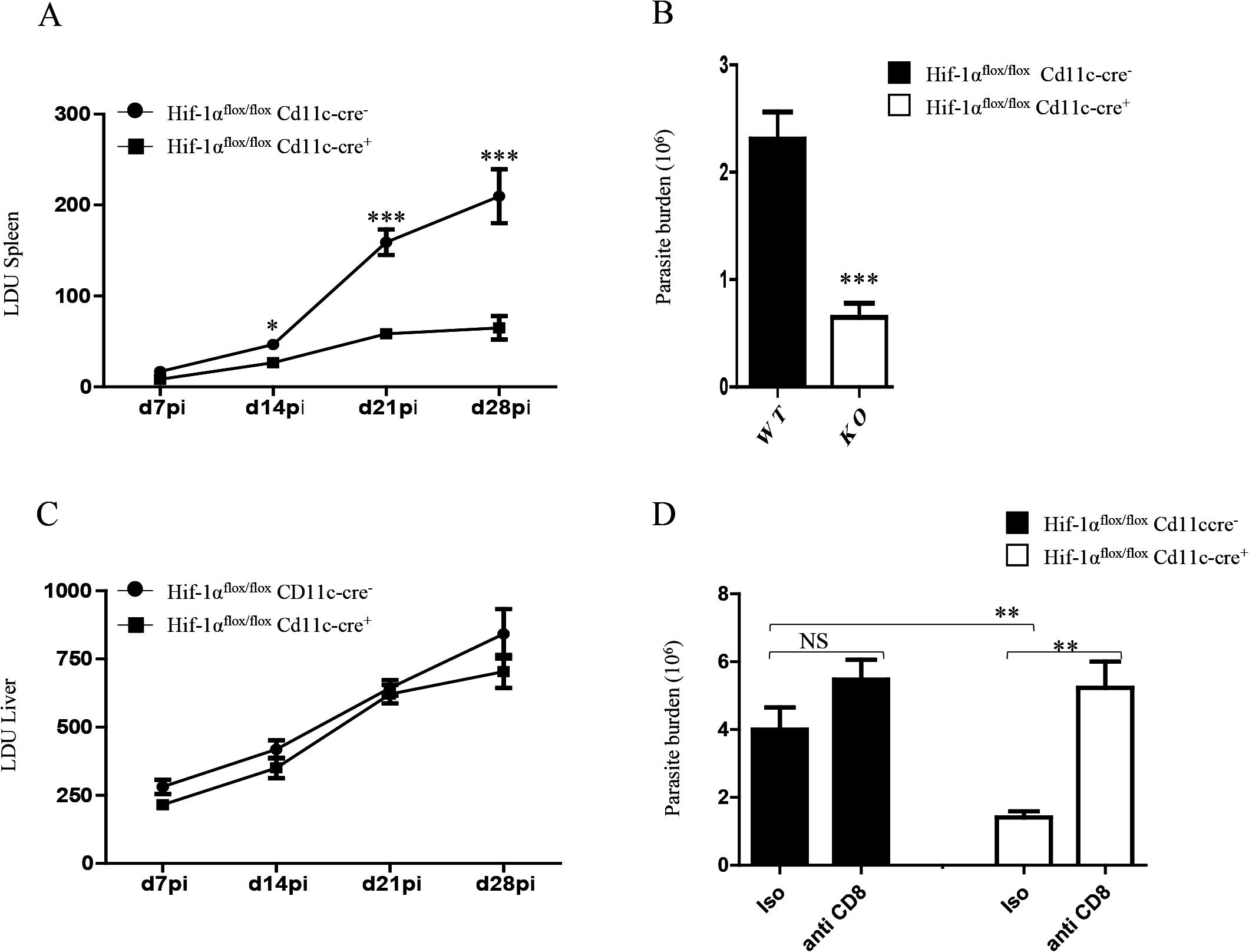HIF-1α expression in CD11c<sup>+</sup> cells exacerbates disease.
