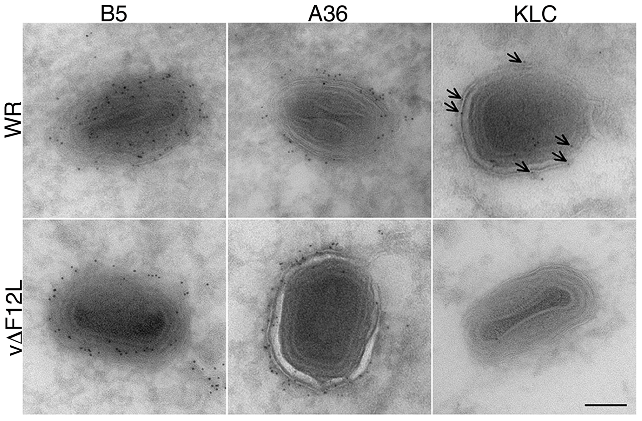 Cryoimmunoelectron microscopy showing F12 is needed for KLC, but not A36, recruitment to IEV.