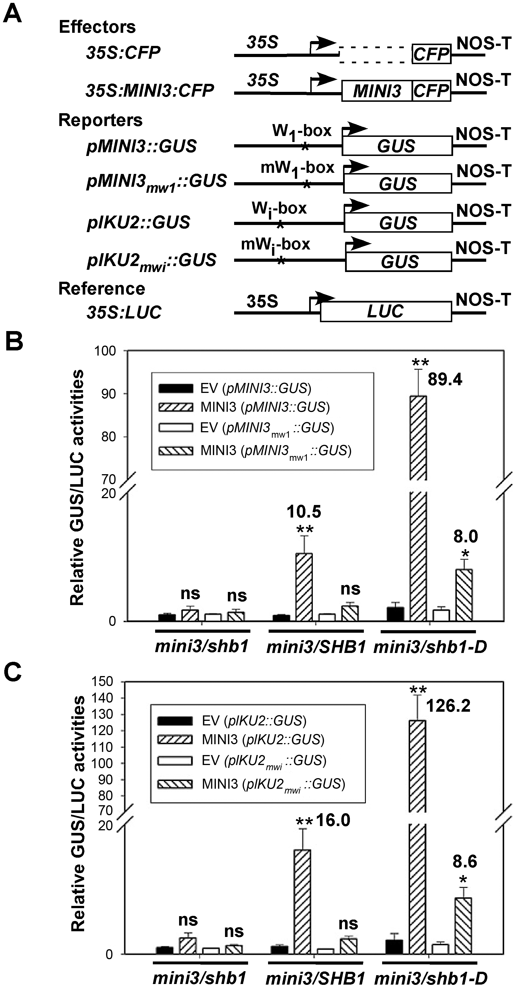 SHB1 activates transcription from <i>MINI3</i> and <i>IKU2</i> promoters.