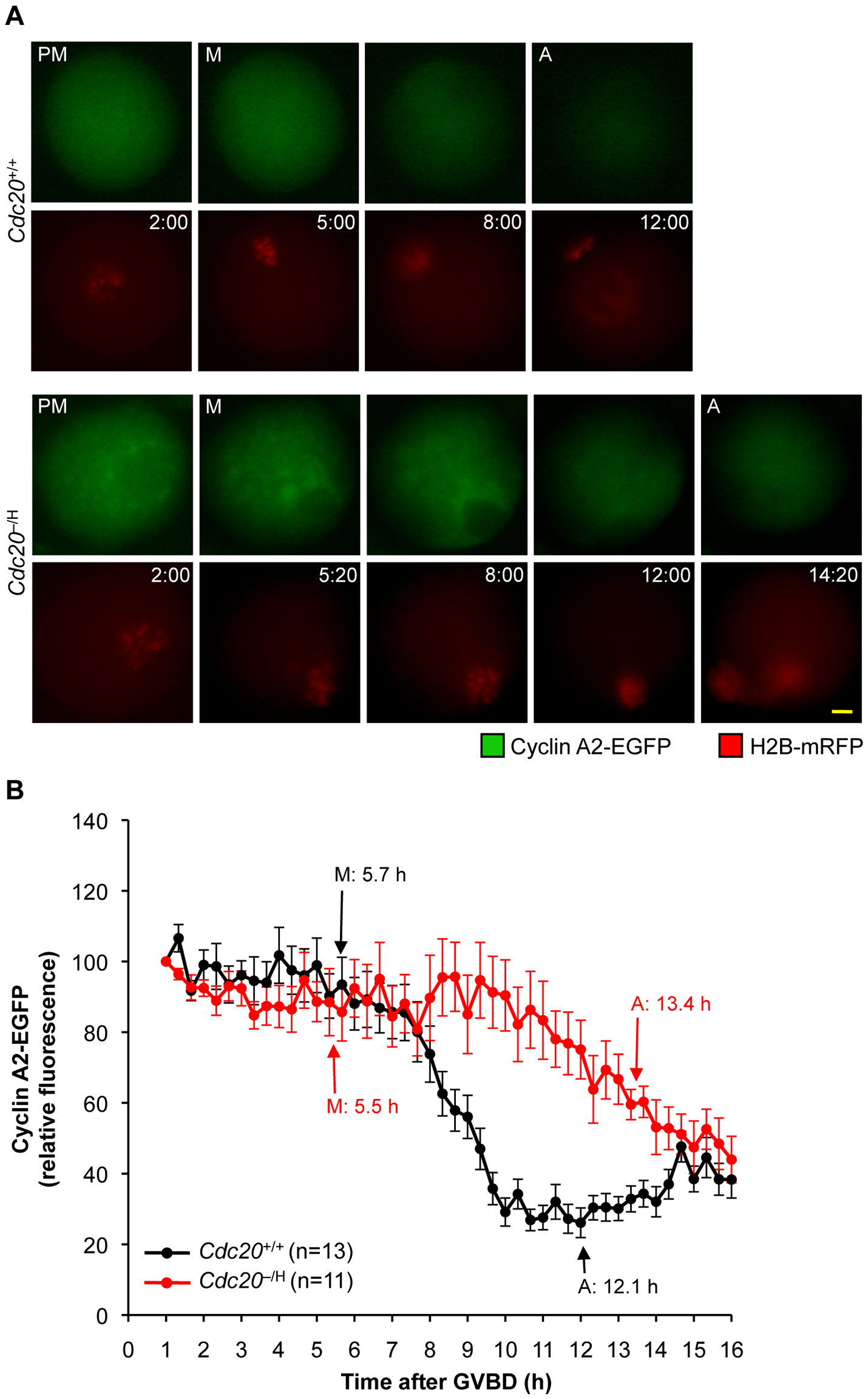 <i>Cdc20</i><sup>−/H</sup> oocytes show inefficient cyclin A2 destruction in metaphase I.