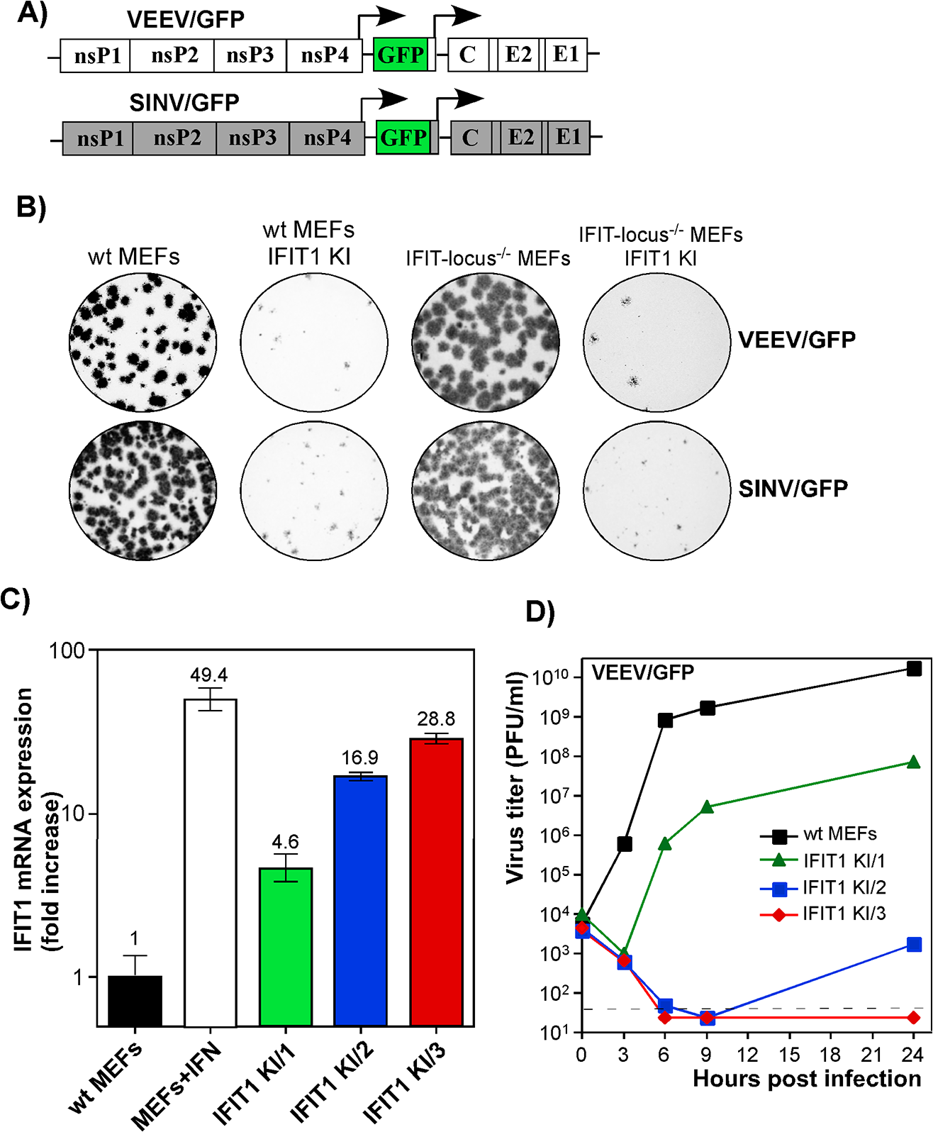 IFIT1 inhibits replication of alphaviruses in a concentration-dependent mode.