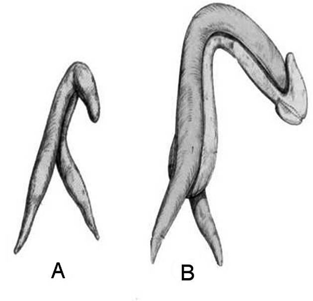 Srovnání kavernózních struktur klitorisu a penisu. A. Klitoris. B. Penis. Obrázek je publikován s laskavým svolením Vincenza Puppa.