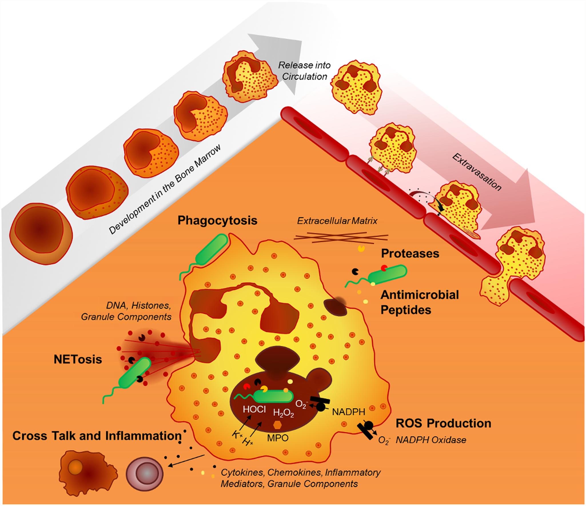 Neutrophil effector mechanisms.