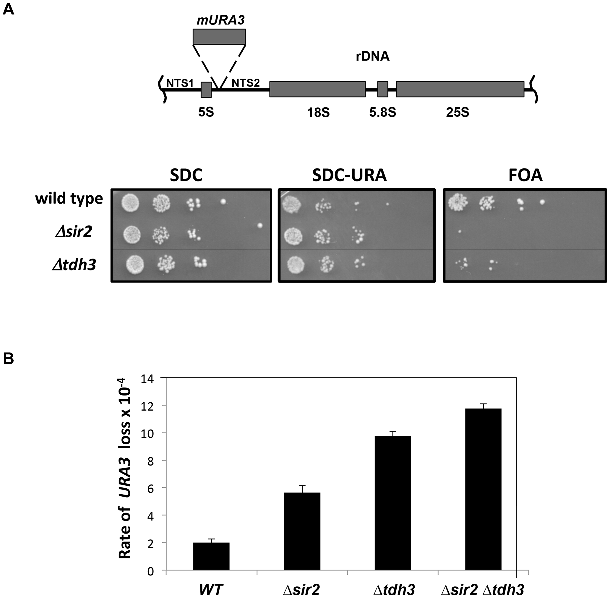 Tdh3 regulates silencing and recombination at the rDNA repeats.