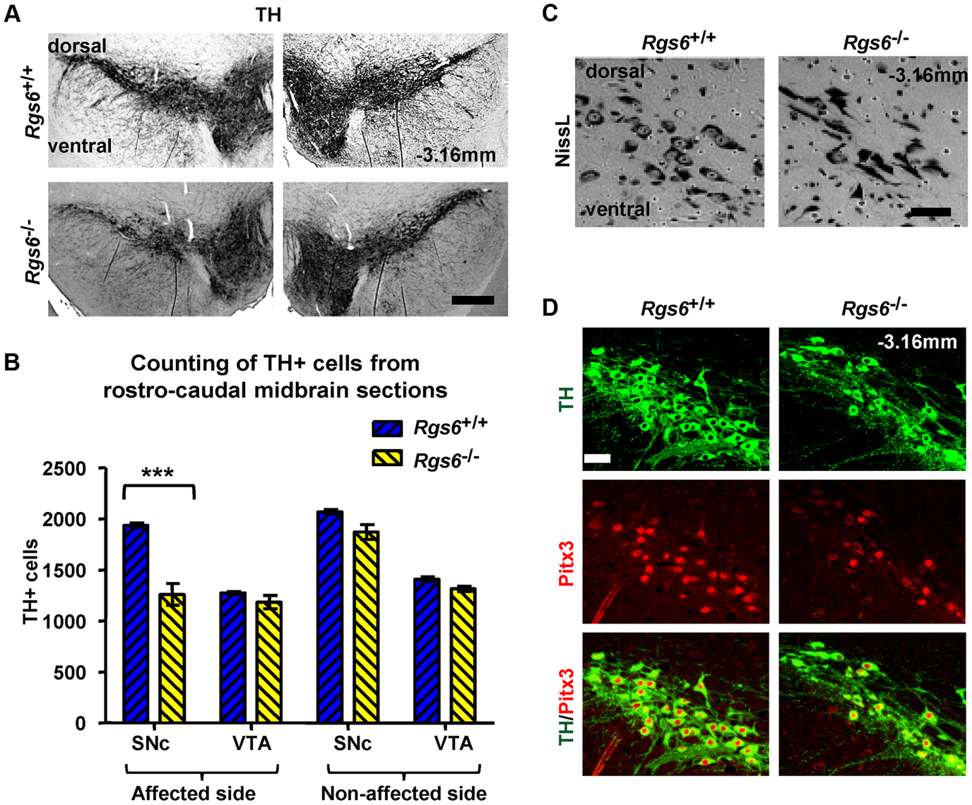 Unilateral loss of Pitx3-positive dopaminergic neurons in ventral SNc of <i>Rgs6</i><sup>−/−</sup> mice.