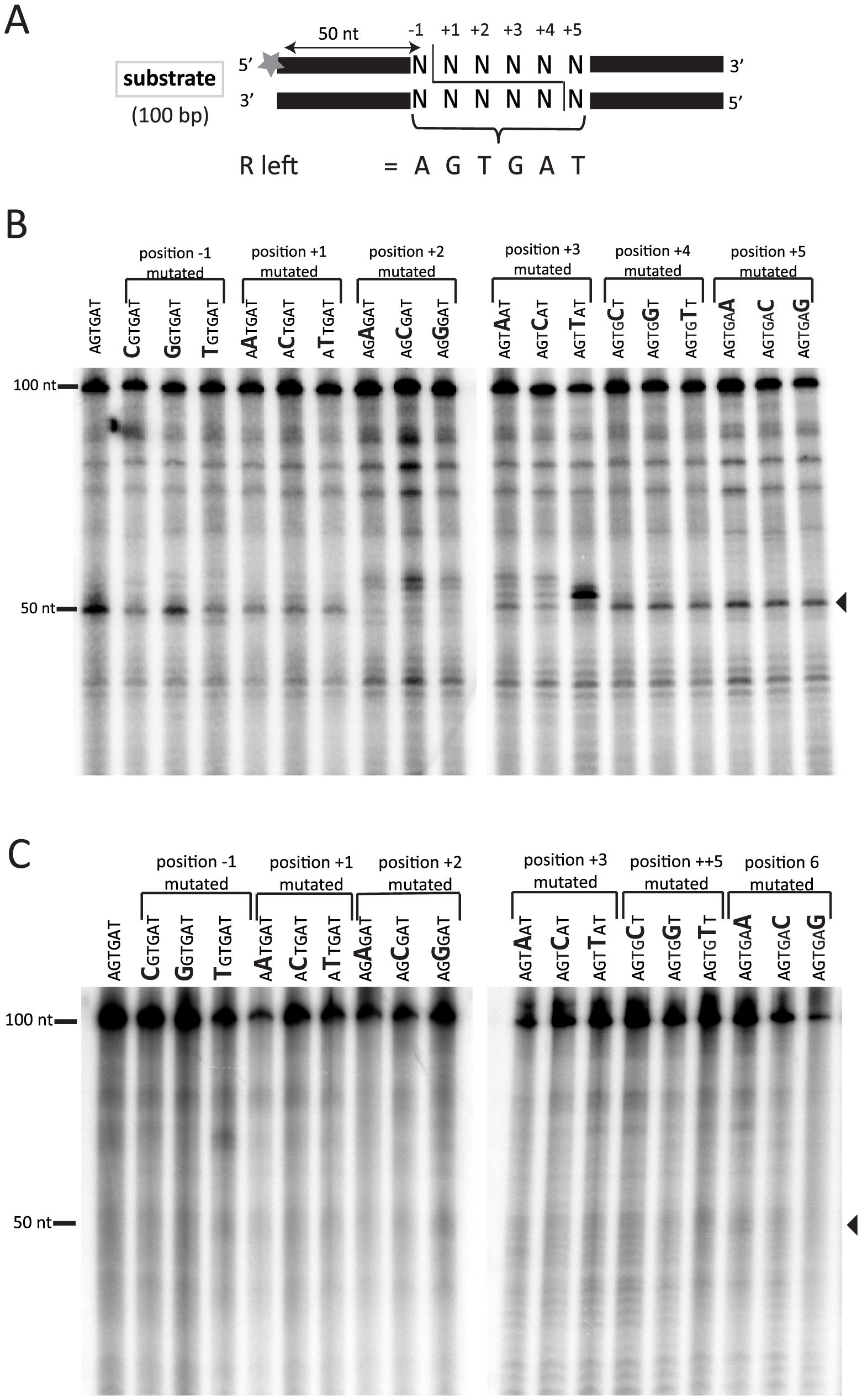 In vitro Tpb2p endonuclease assay.