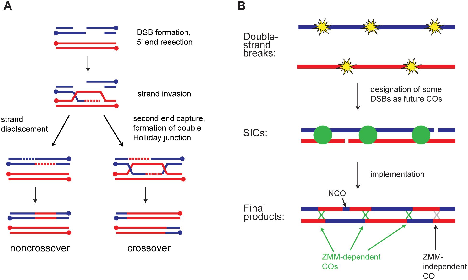 Overview of meiotic recombination.