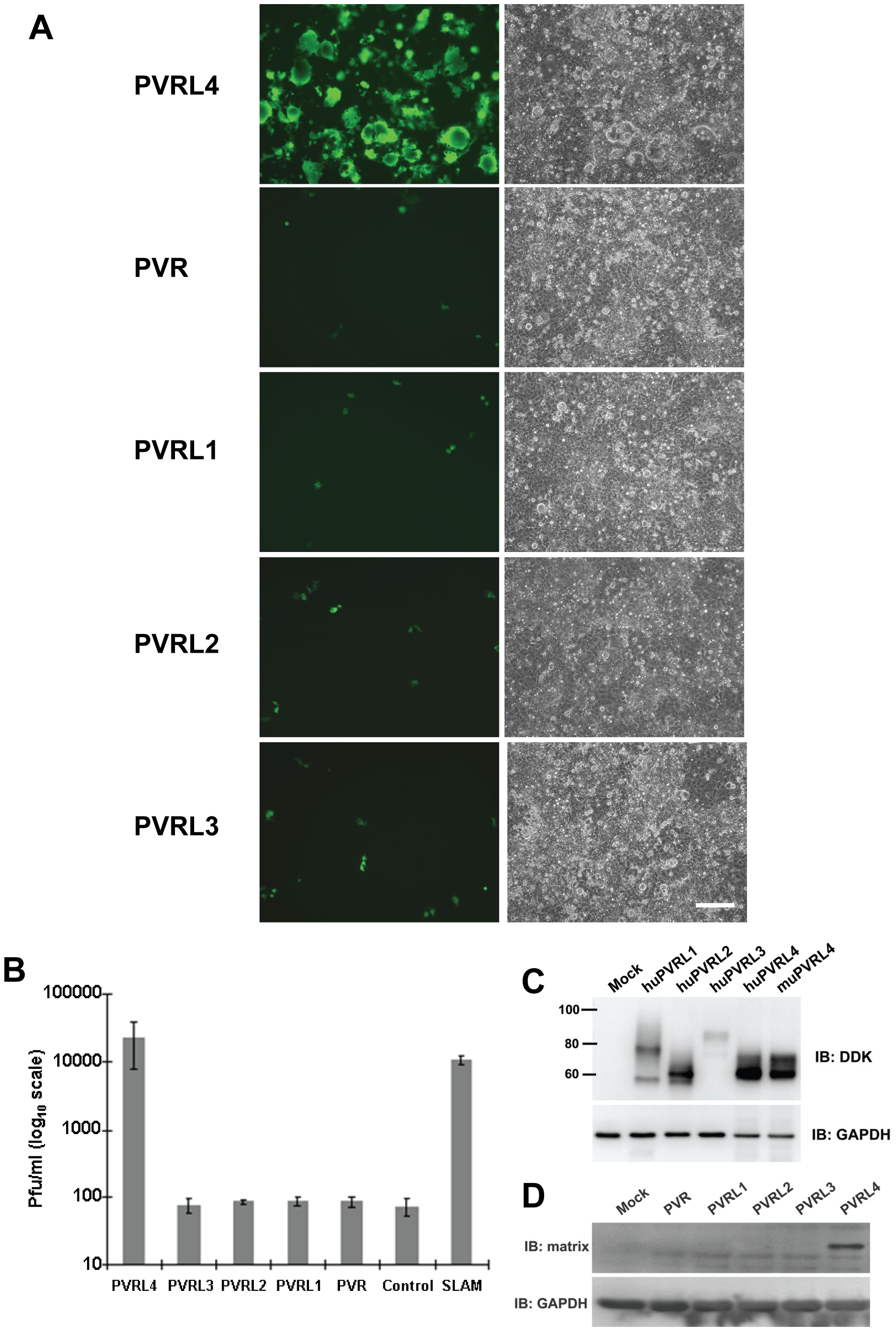Nectins closely related to PVRL4 cannot function as receptors for wtMV.