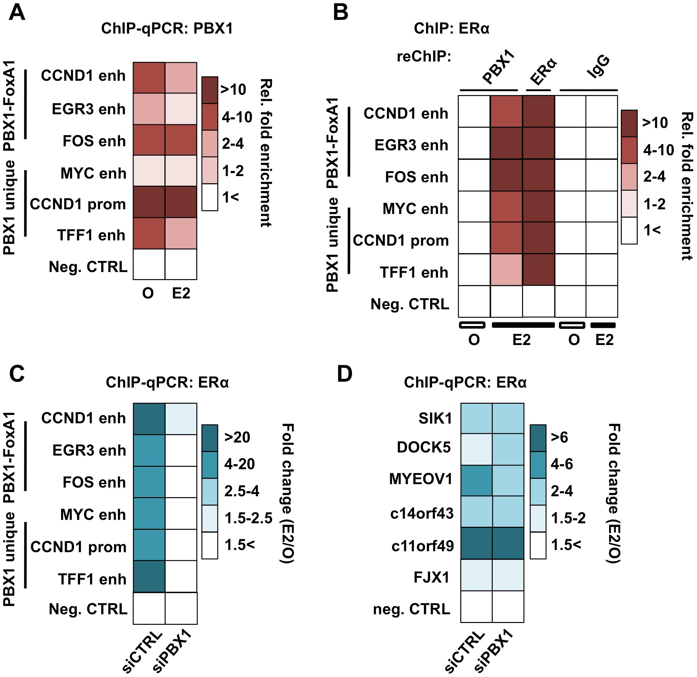 PBX1 is located in the nucleus and mediates ERα genomics activity.