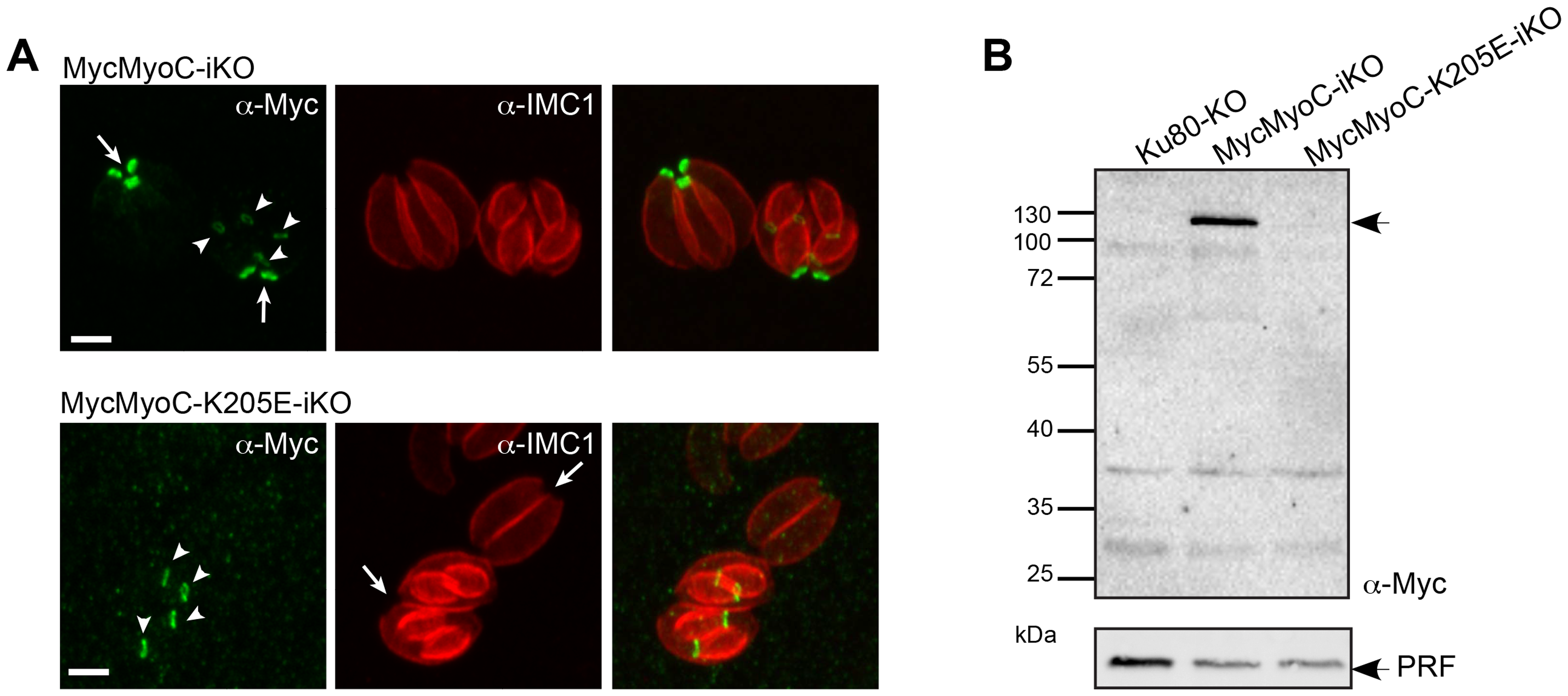 A non-functional MyoC fails to incorporate into the basal glideosome complex.