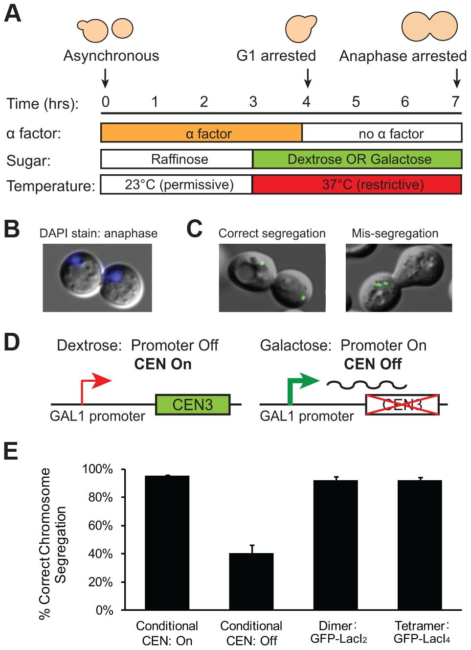Holding sister centromeres close together does not disrupt chromosome segregation.