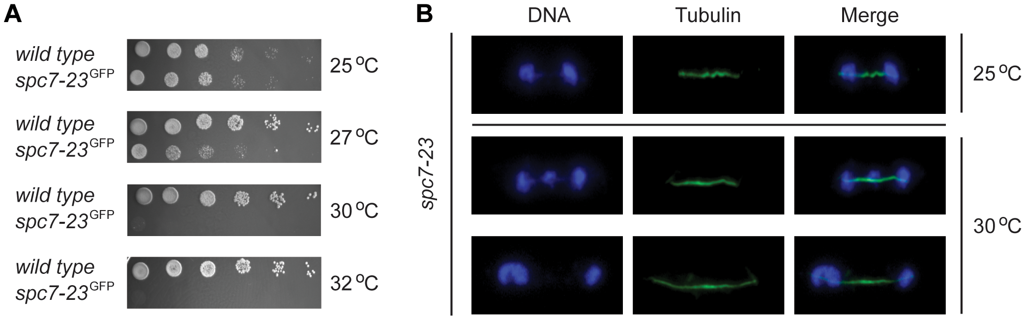 <i>spc7-23</i> cells are temperature sensitive and defective in DNA segregation.