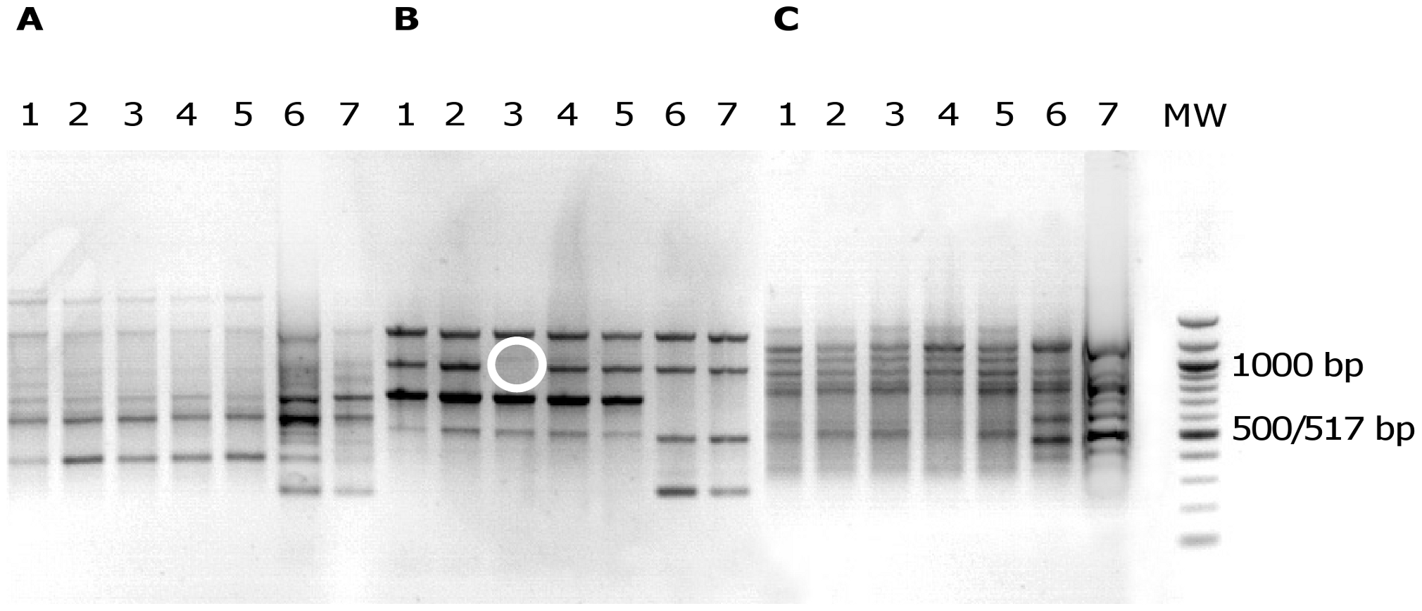 Electrophoretic patterns in agarose gel of PCR products from <i>E. coli</i> isolates.