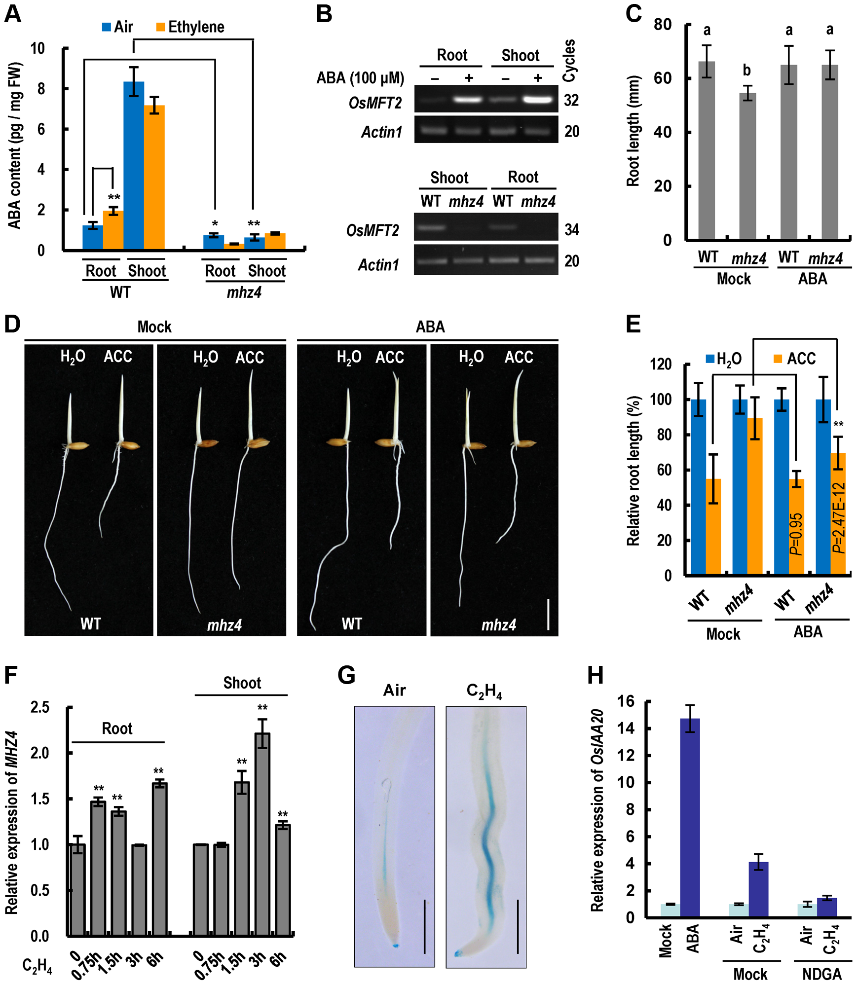 Ethylene-induced root inhibition is largely mediated through <i>MHZ4</i>-dependent ABA accumulation.