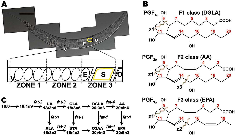 <i>C. elegans</i> gonad, F-series prostaglandin structures, and PUFA metabolism pathways.