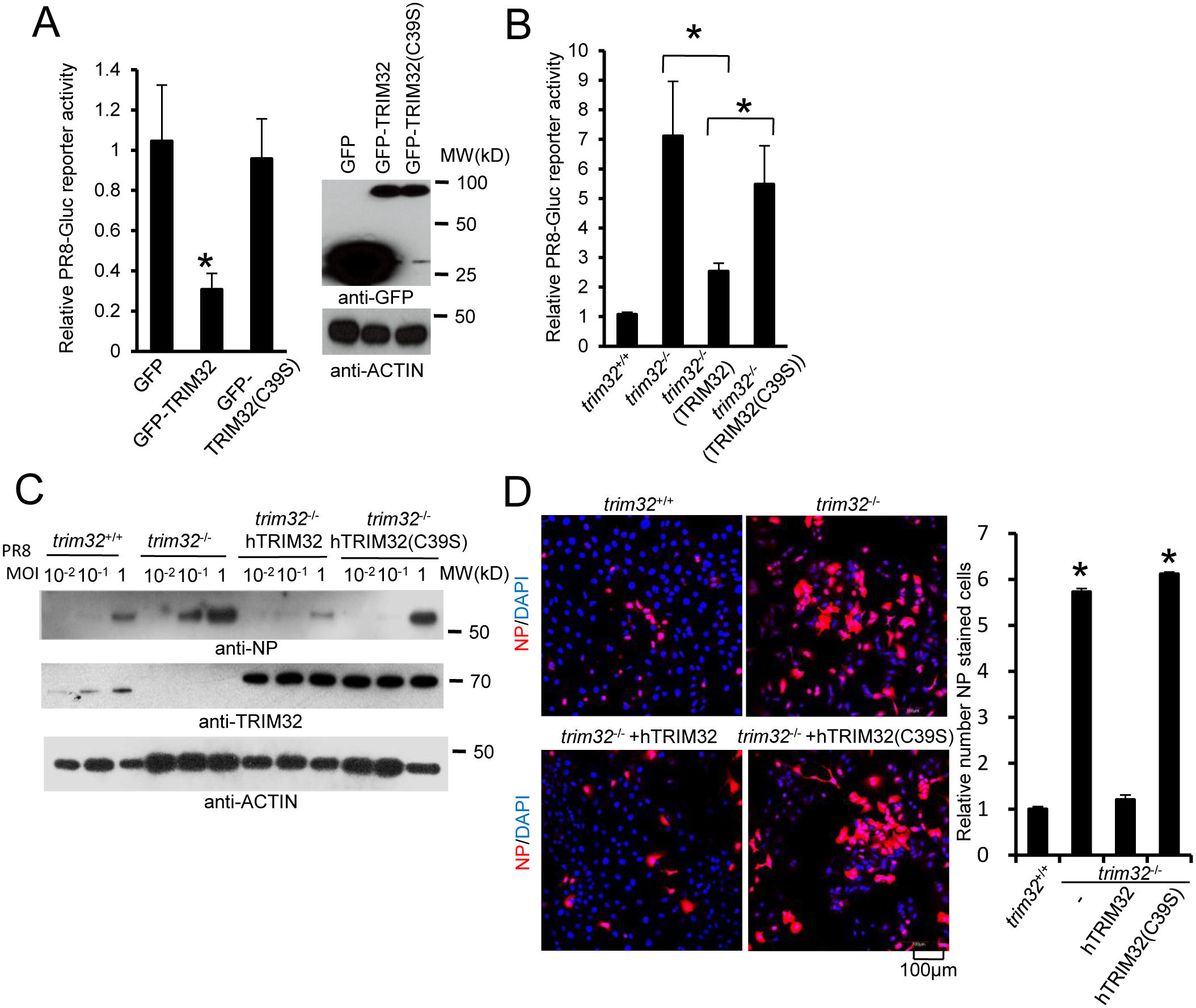 E3 ligase activity is indispensable for TRIM32-dependent against influenza A virus.