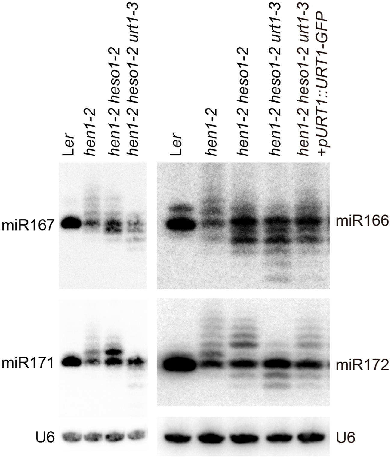 Small RNA northern blot analysis of miR167, miR166, miR171 and miR172 in various genotypes.