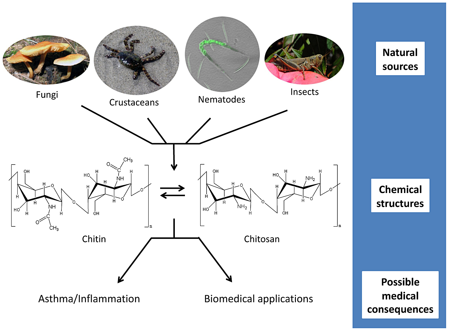 Chitin and chitosan: from source to consequence.