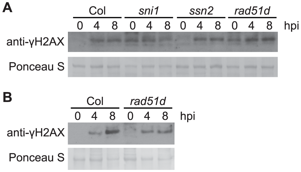 <i>Pst</i>-induced γ-H2AX accumulation in mutants involved in homologous-recombination pathway.