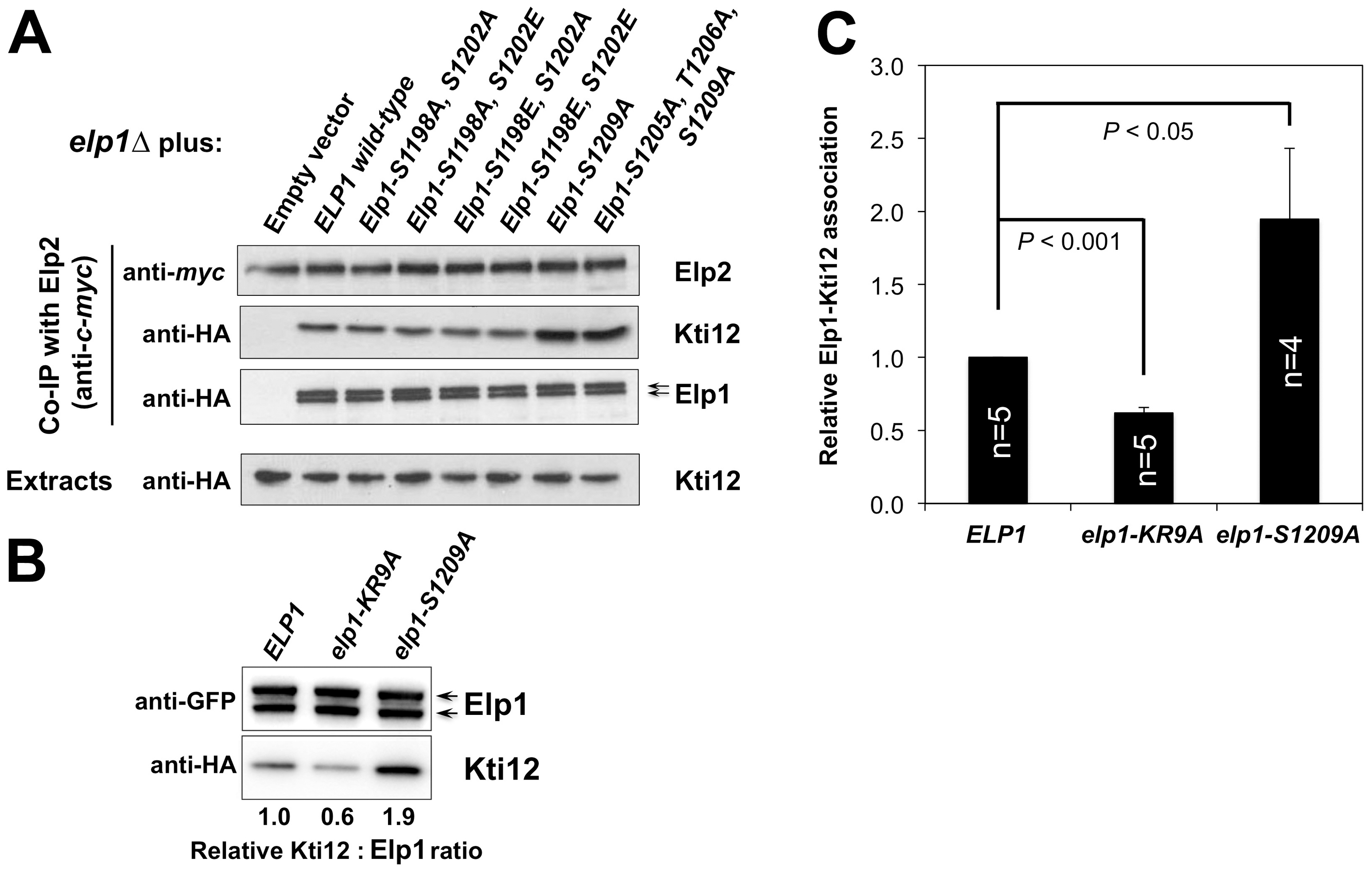 Phosphorylation site mutations in Elp1 lead to changes in Kti12 association with Elongator.