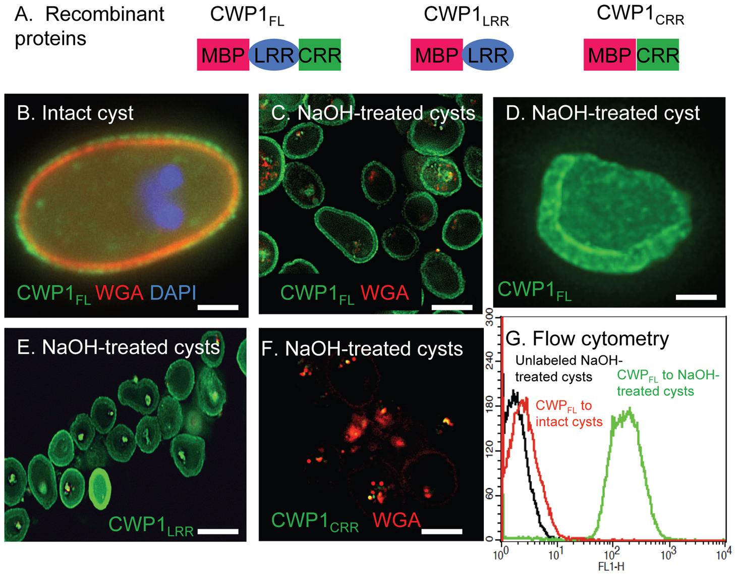 <i>N</i>-terminal Leu-rich repeats of <i>Giardia</i> CWP1 (CWP1<sub>LRR</sub>) form a lectin domain that binds to deproteinated fibrils of the GalNAc homopolymer.