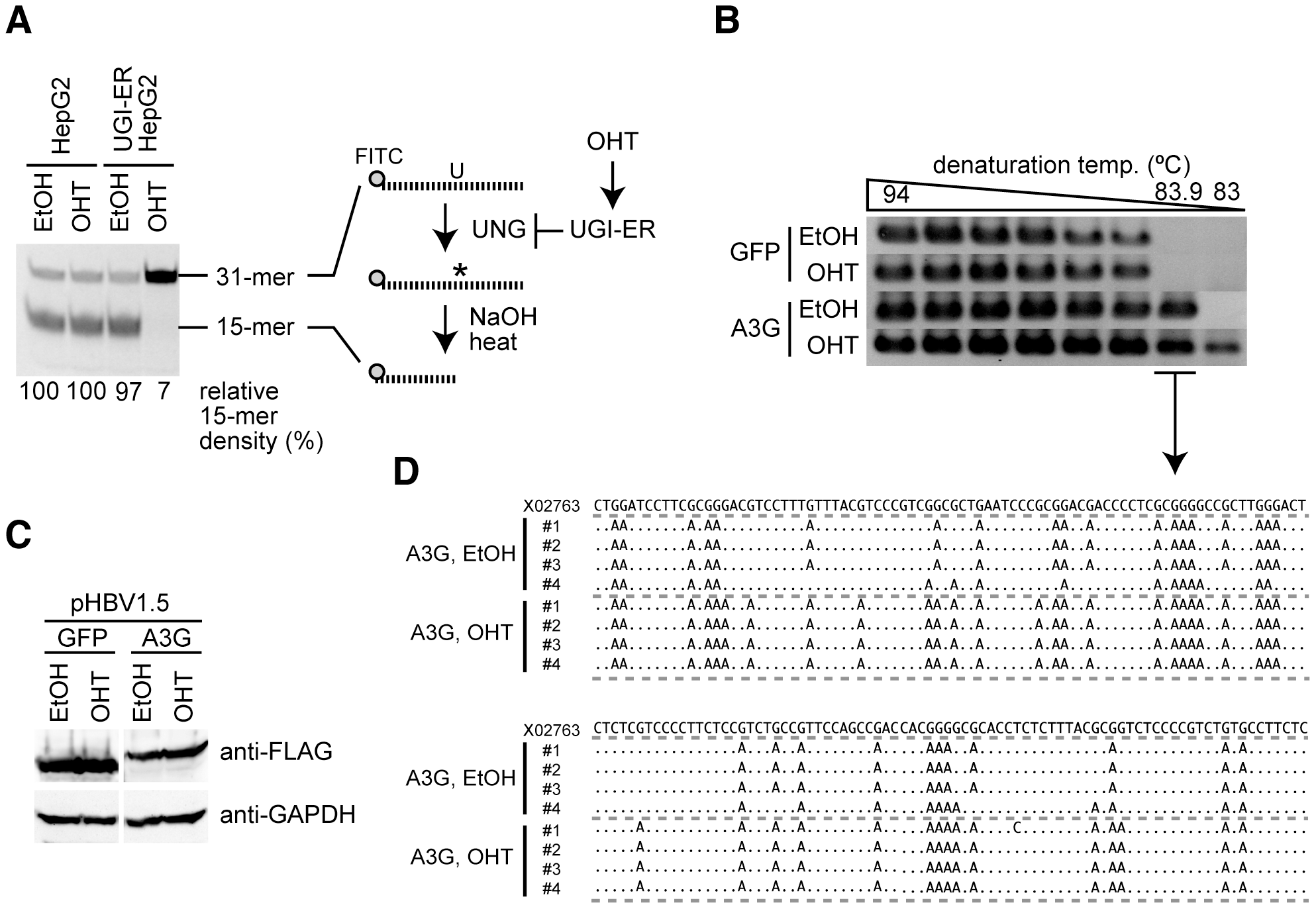 UNG inhibition enhances A3G-induced hypermutation of HBV NC-associated DNA.