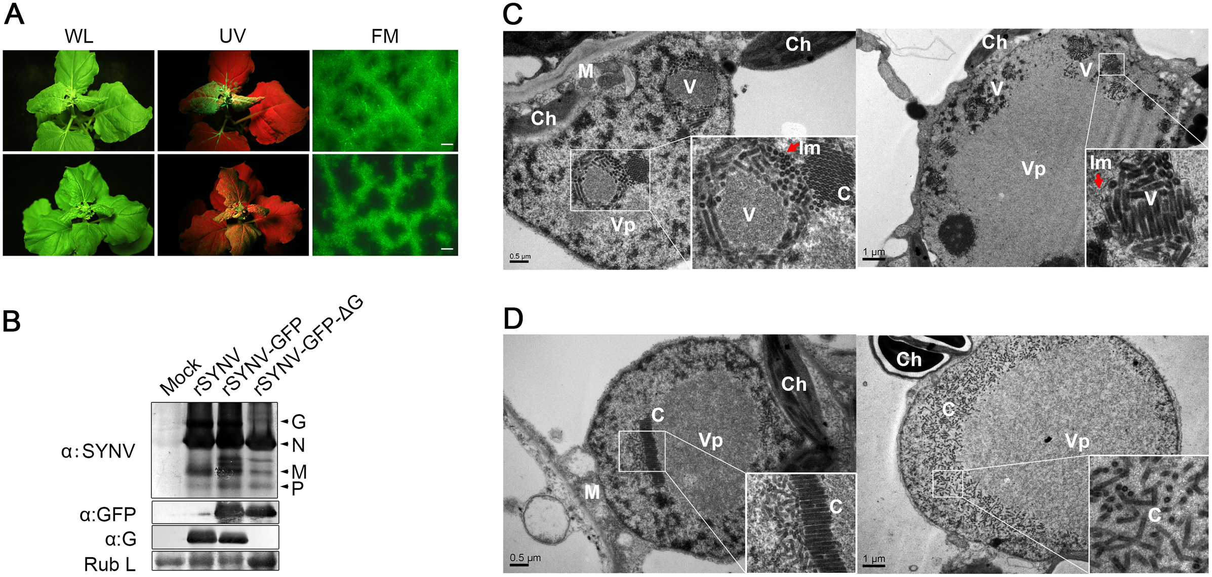 Role of the SYNV glycoprotein in systemic infection and virion maturation.