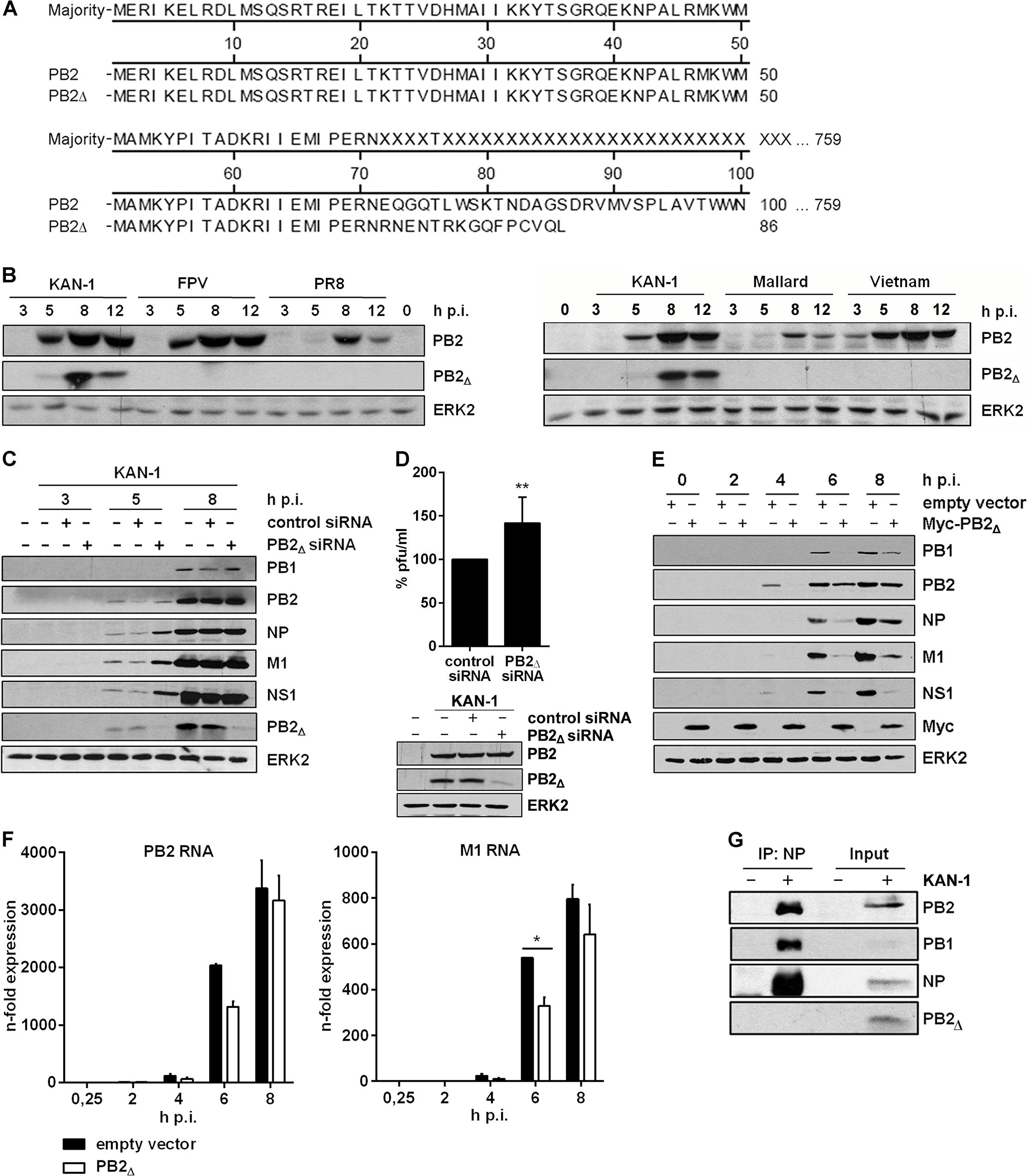 The PB2<sub>∆</sub> mRNA encodes a 10 kDa protein that impairs viral gene expression.