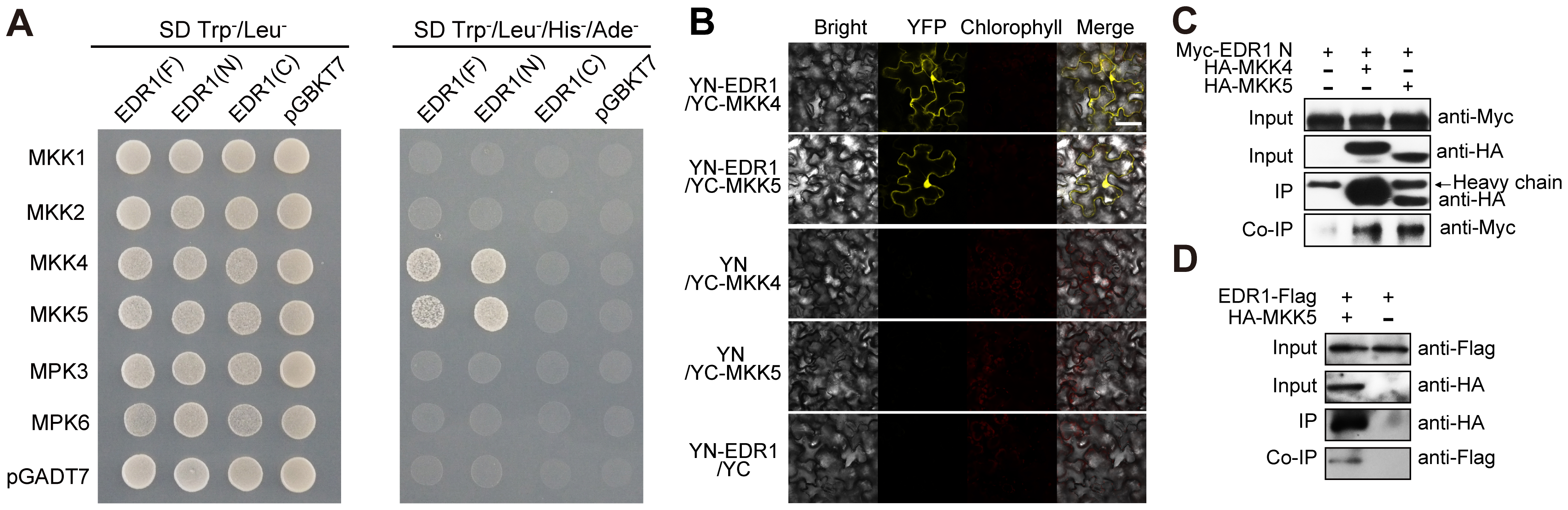 EDR1 interacts with MKK4 and MKK5.