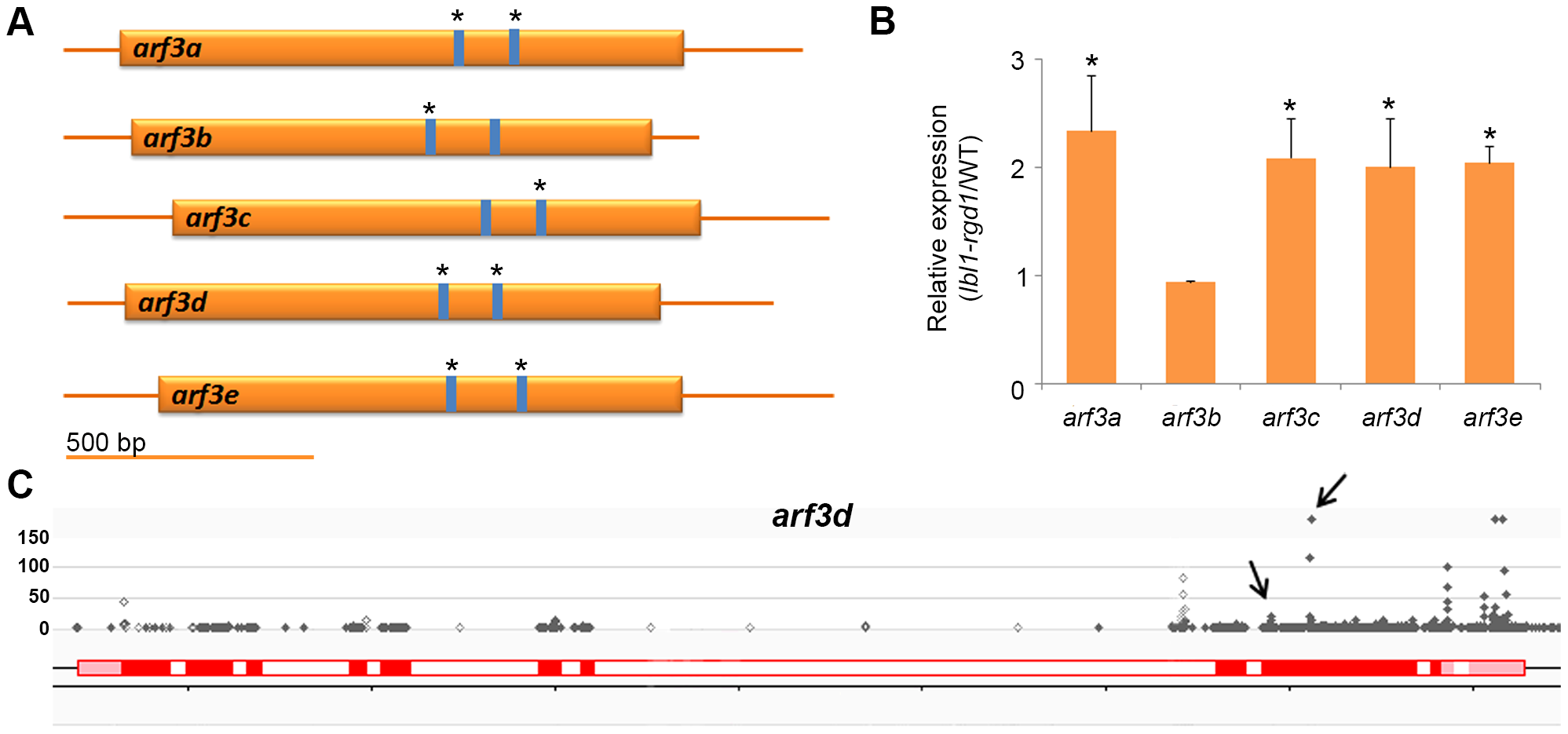 Regulation of <i>ARF3</i> genes by ta-siRNAs in the maize shoot apex.