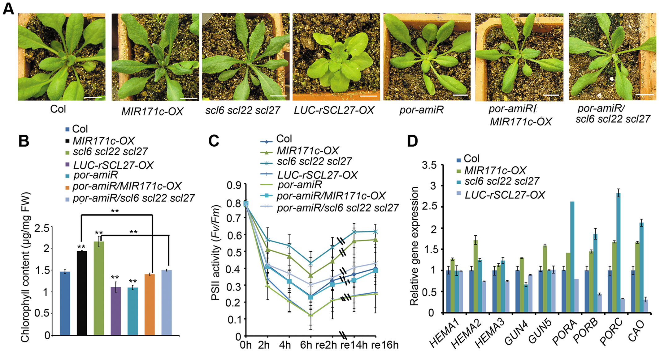 POR is critical for SCL-regulated chlorophyll biosynthesis in light.