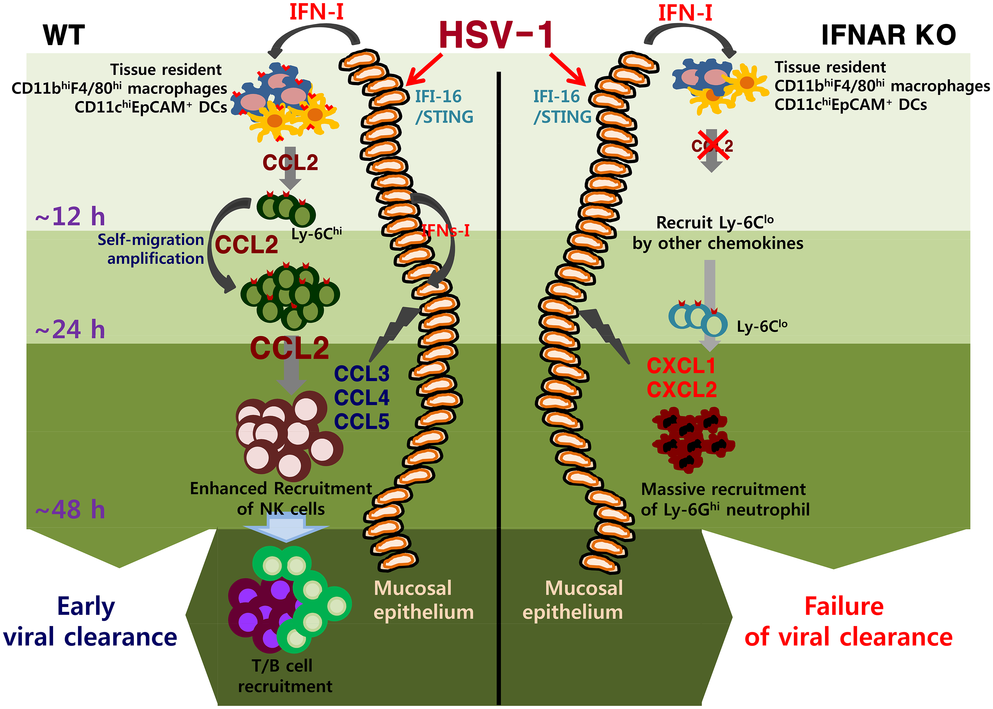 IFN-I–dependent cascade pathway for concerted recruitment of CD11b<sup>+</sup>Ly-6C<sup>hi</sup> monocytes and NK cells in mucosal tissues following HSV-1 infection.