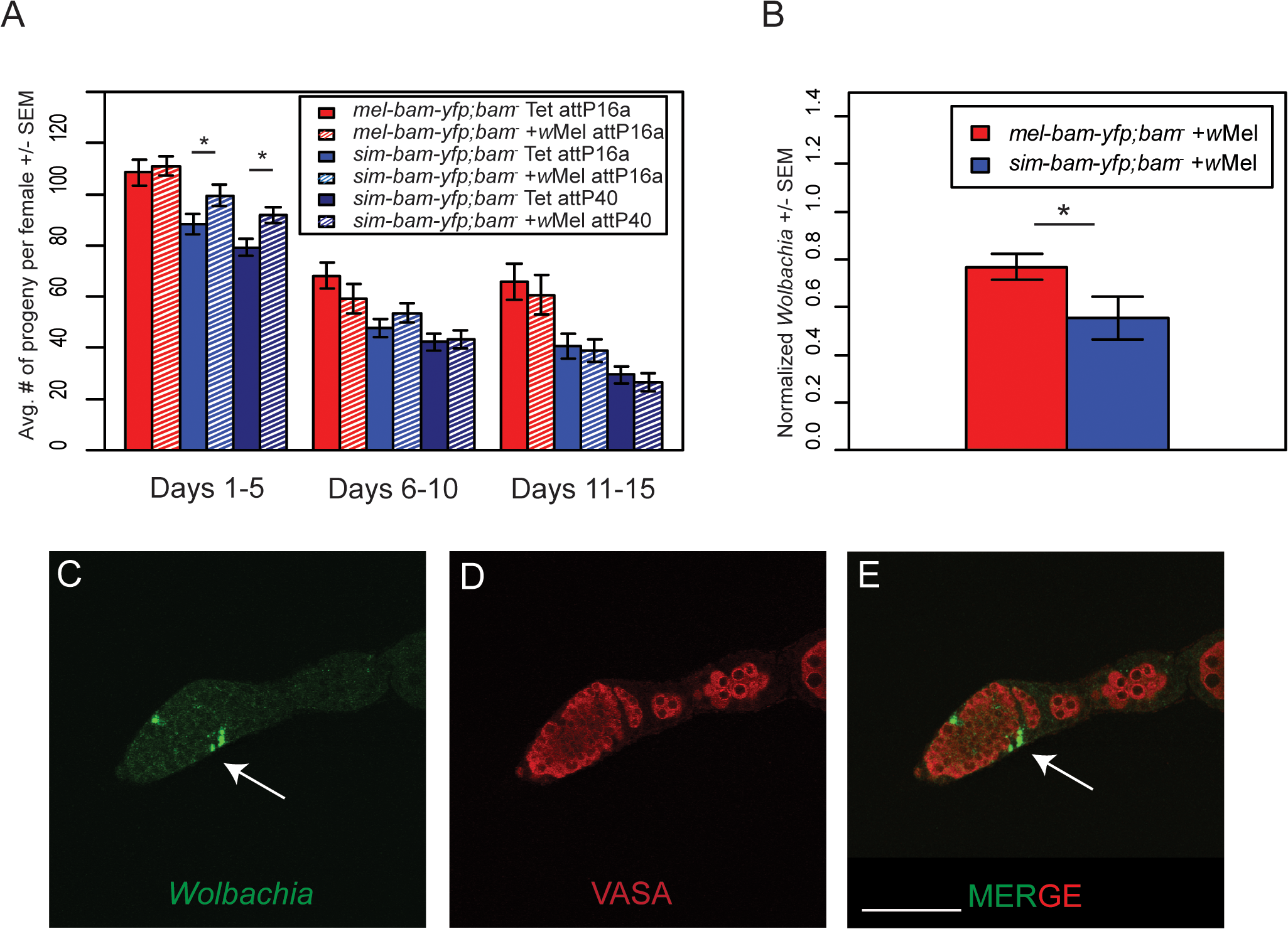 <i>Wolbachia</i> interacts with <i>sim-bam-yfp; bam</i><sup>−</sup>in females.