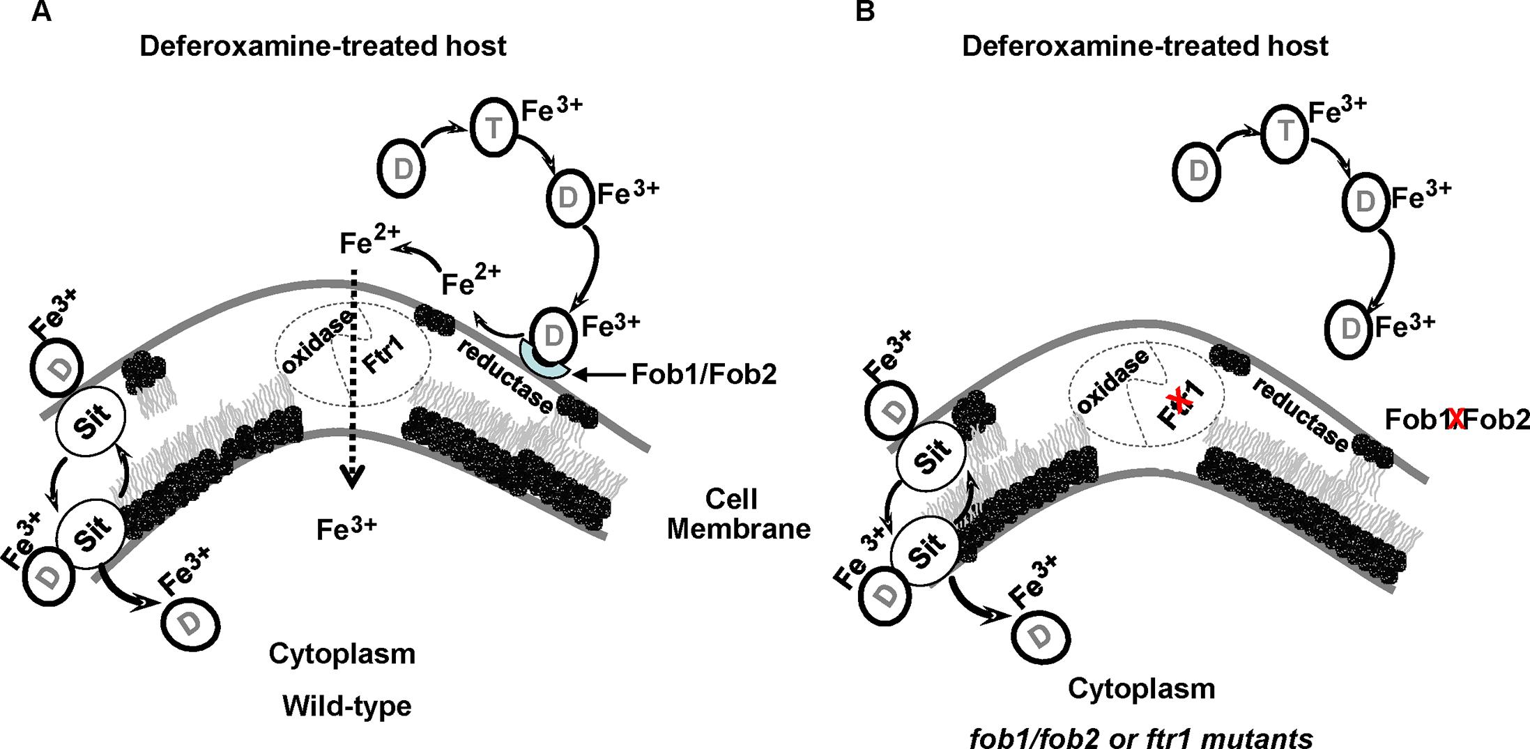 Proposed mechanism of iron uptake by <i>R</i>. <i>oryzae</i> from ferrioxamine.