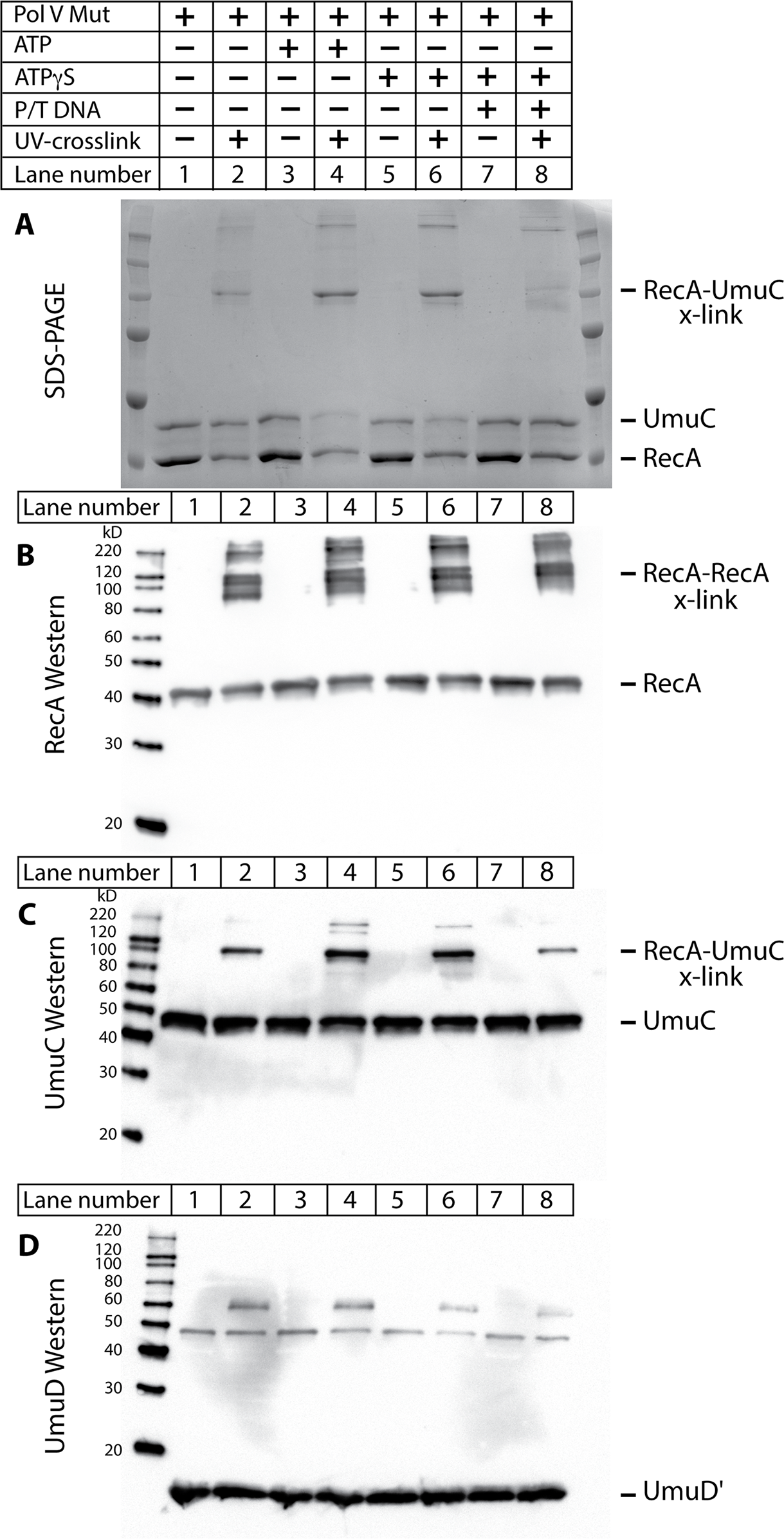 The RecA 3'-surface interacts with UmuC in pol V Mut.