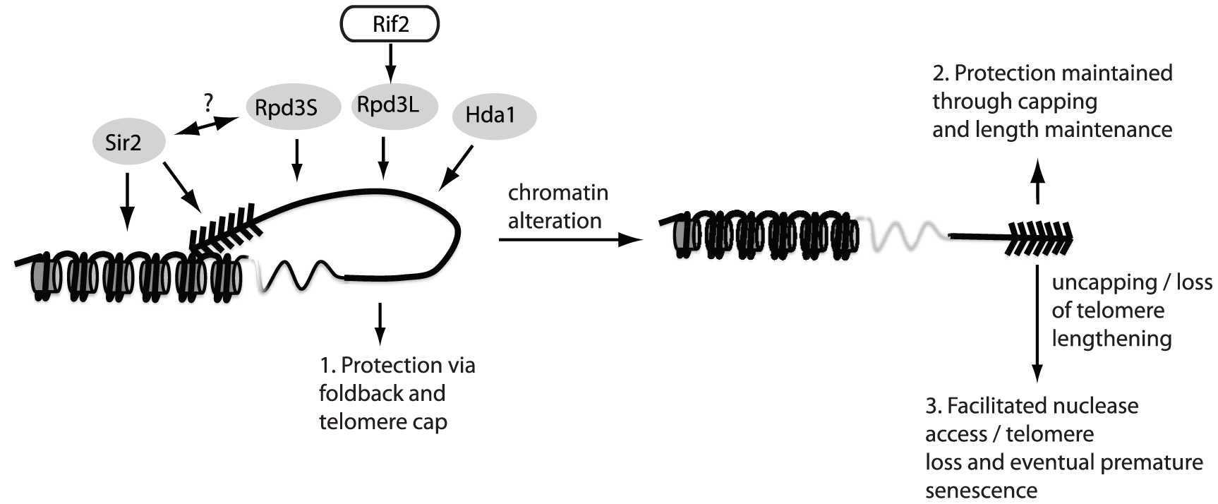 The fold-back may contribute to telomere protection.