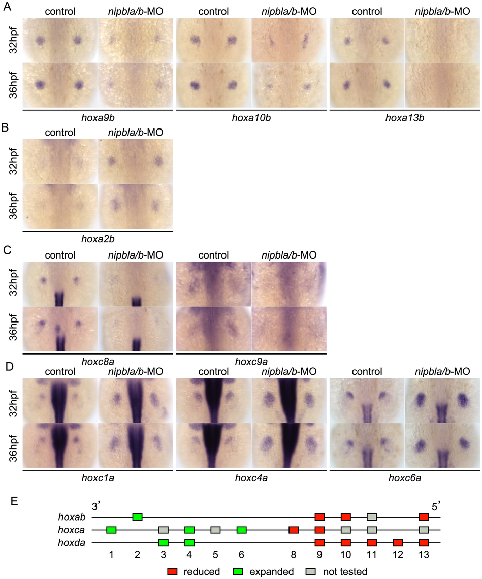 Nipbls regulate <i>hox</i> gene expression according to genomic location.