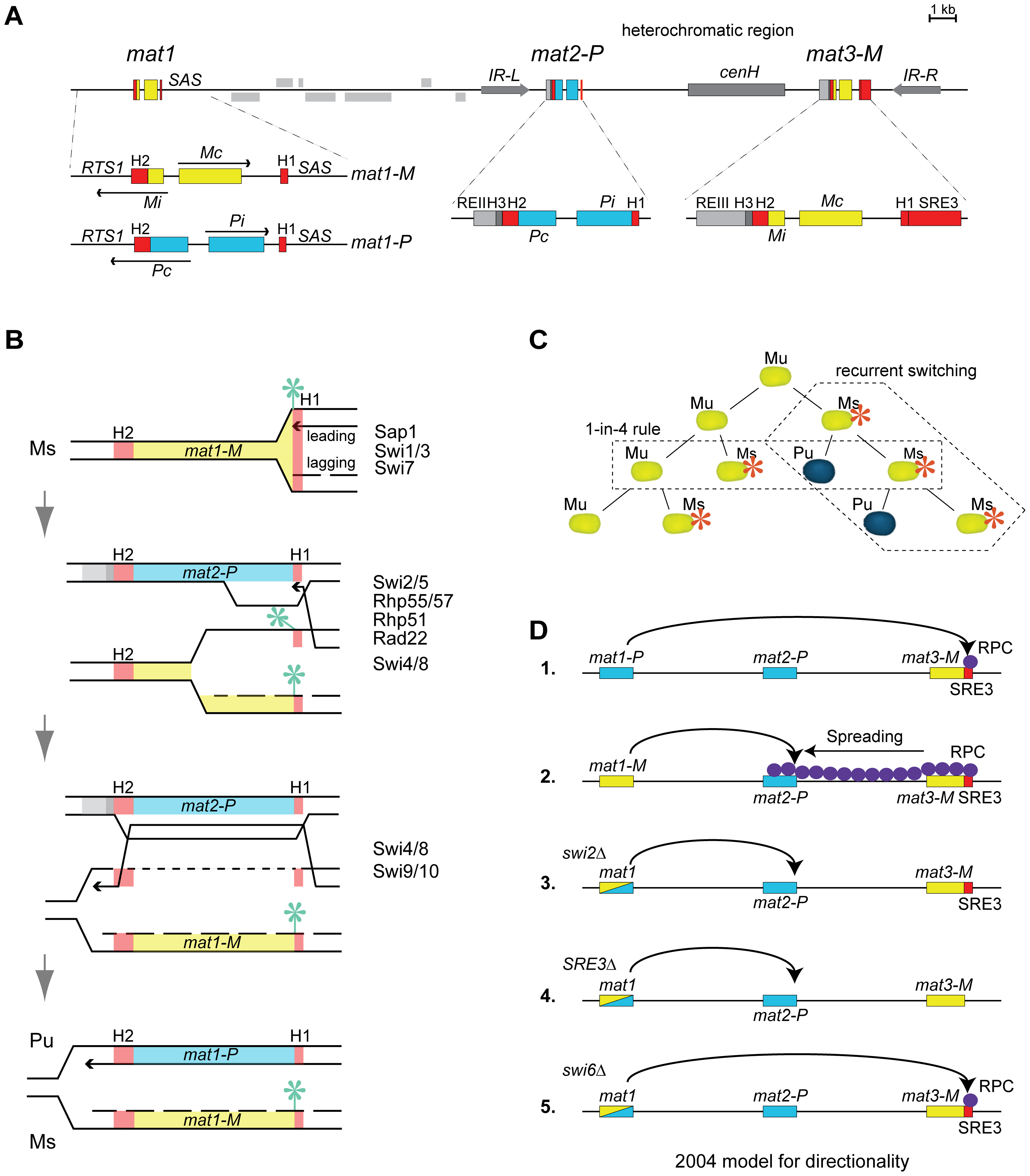 Mating-type region and mating-type switching in <i>S. pombe</i>.