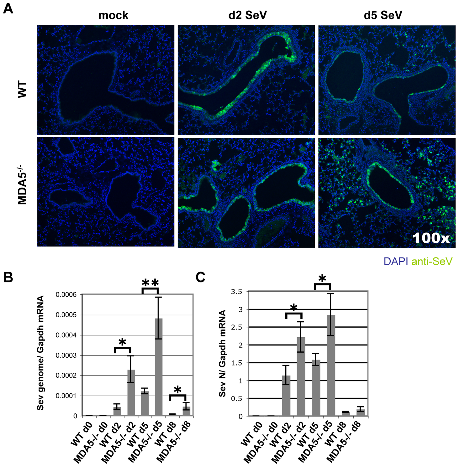 SeV replication is enhanced in MDA5<sup>−/−</sup> mice.