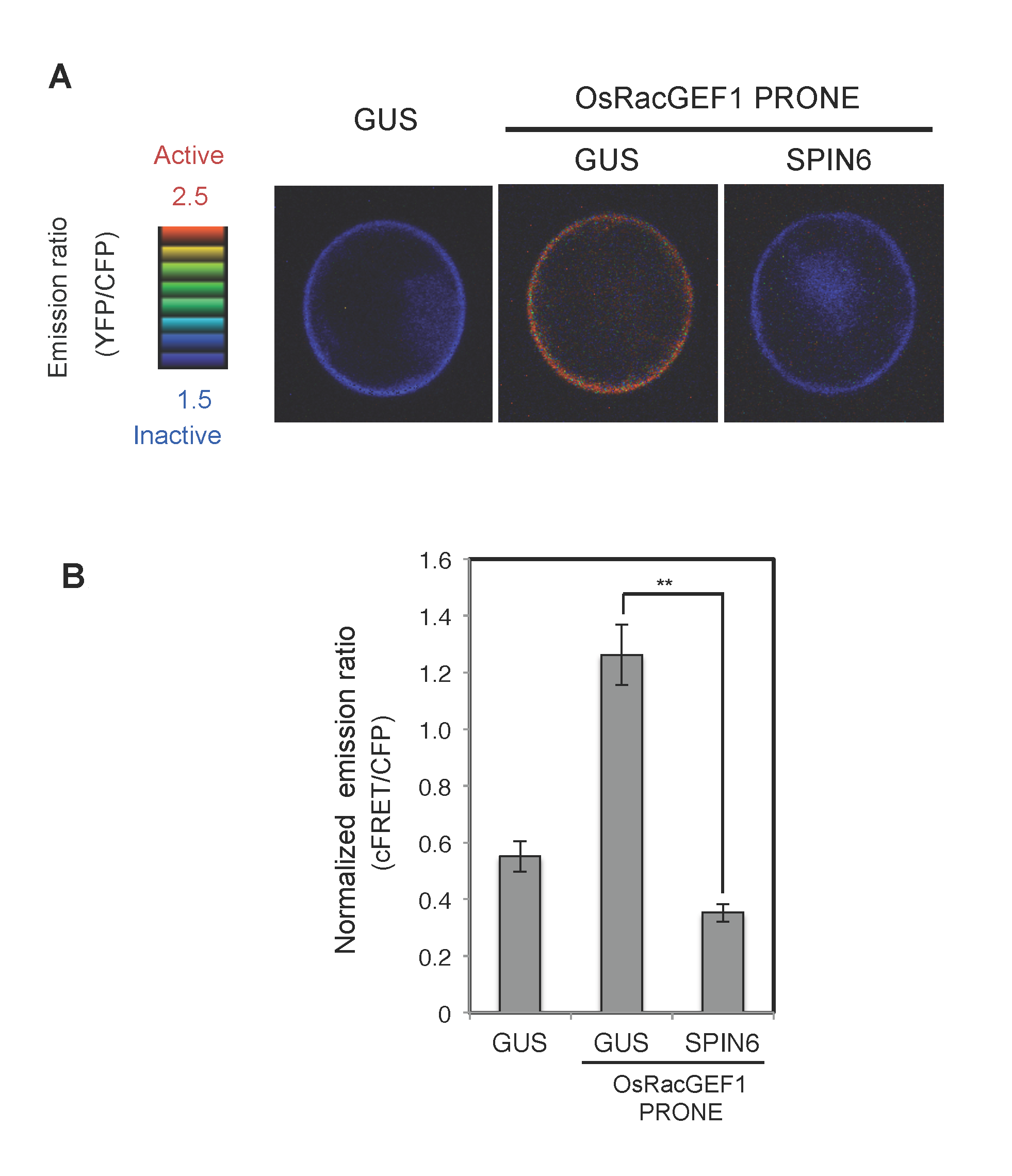 Analysis of RhoGAP activity of SPIN6 toward OsRac1 in rice protoplasts.