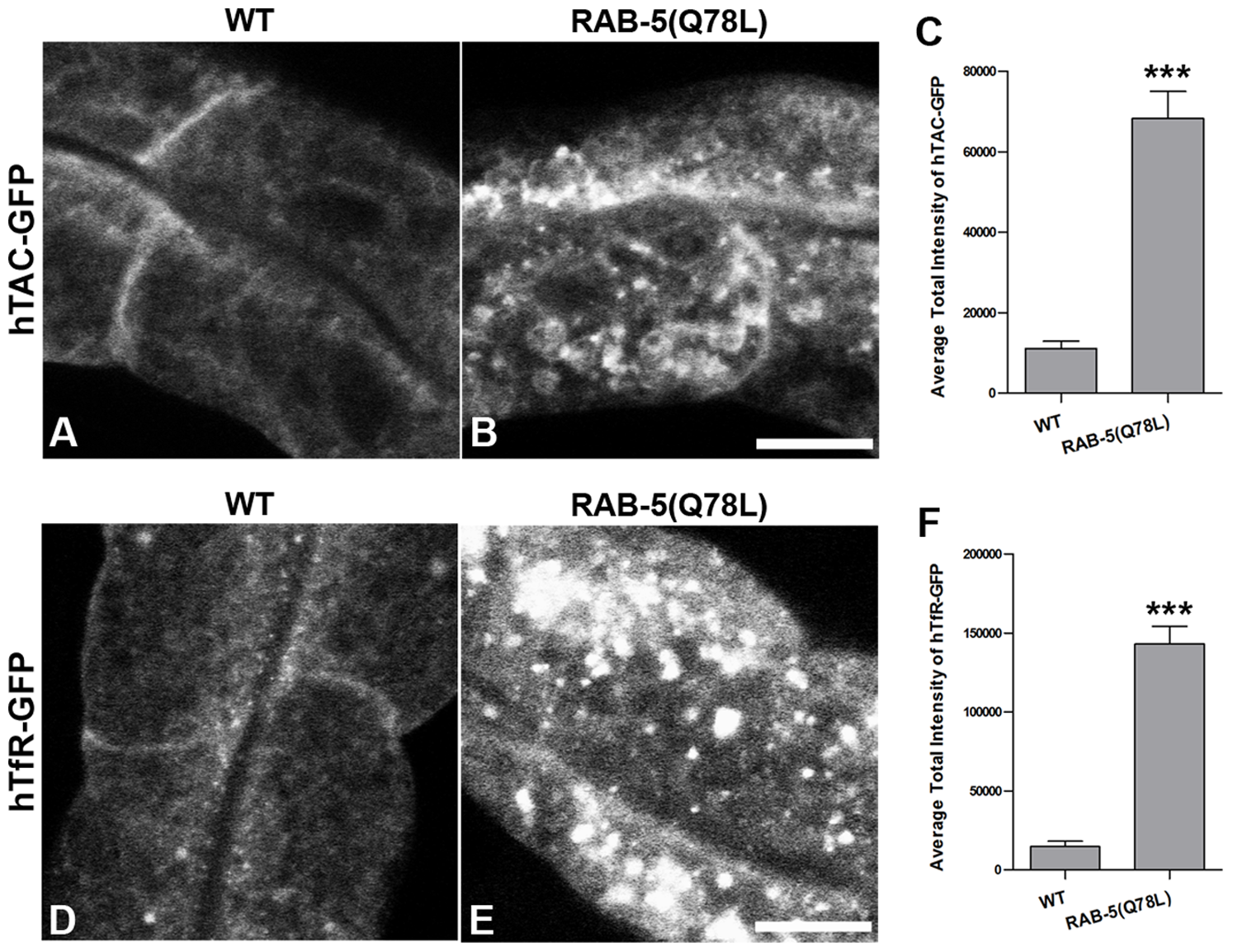 Expression of GTPase-defective RAB-5 interferes with the trafficking of recycling cargo.
